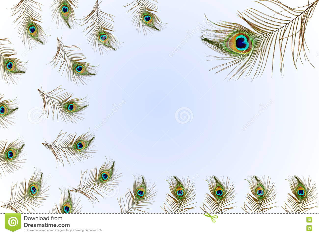 Beautiful peacock feathers as background with text copy space