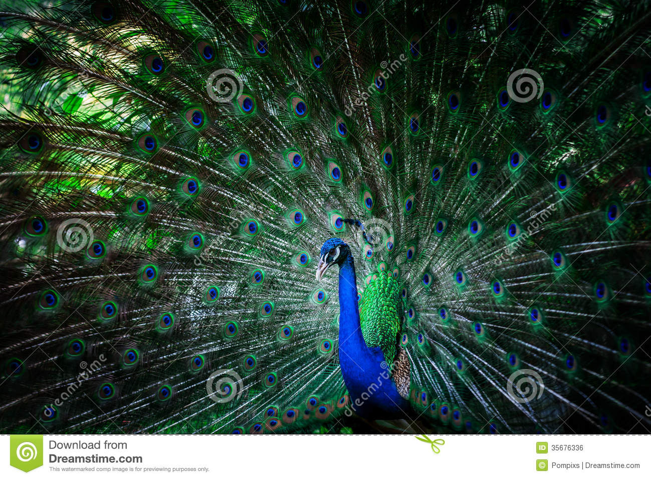 Beautiful peacock with feathers royalty free stock image image 35676336 - Beautiful peacock feather ...