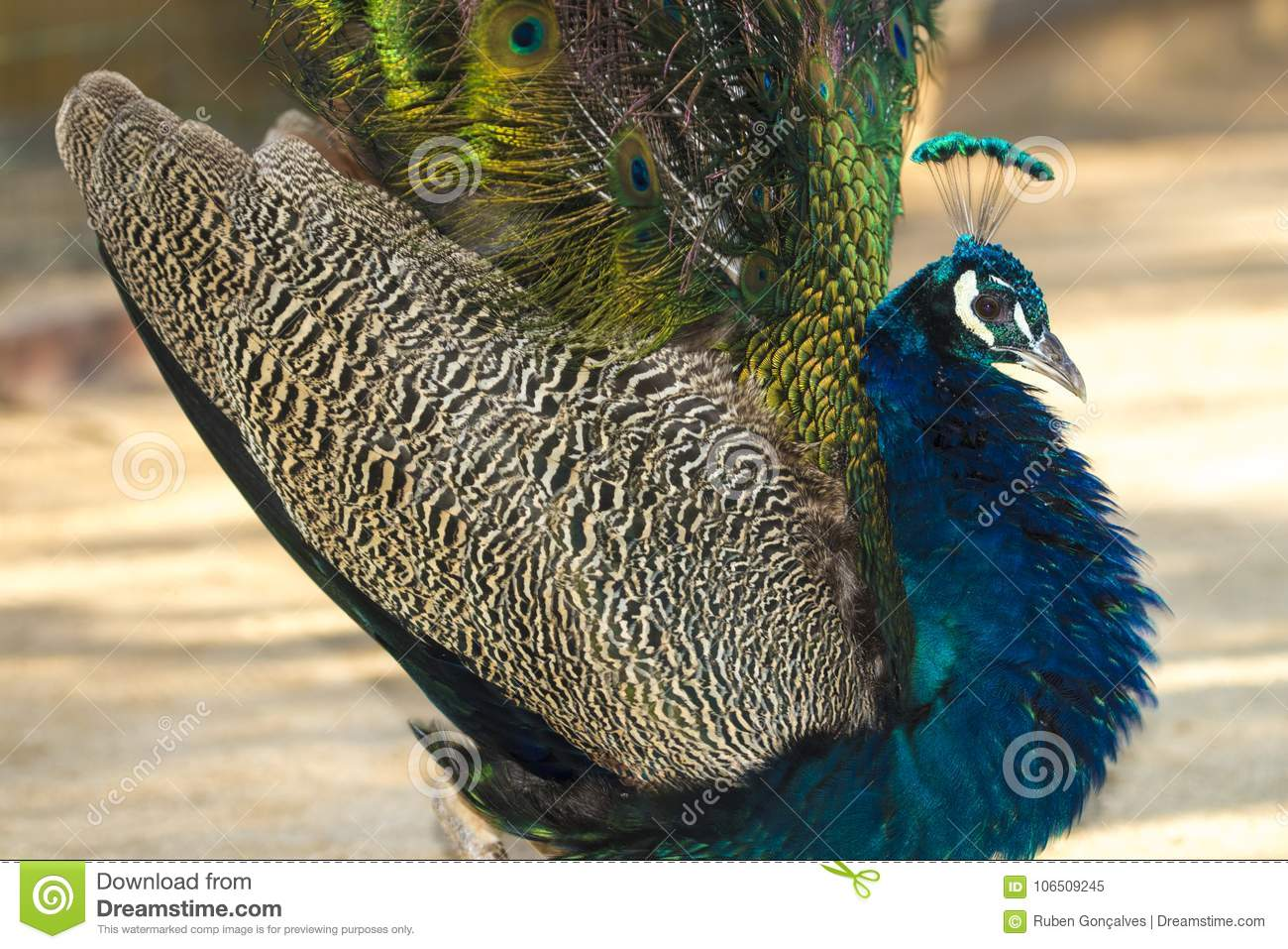 peacock bird fully open stock image image of colors 106509245