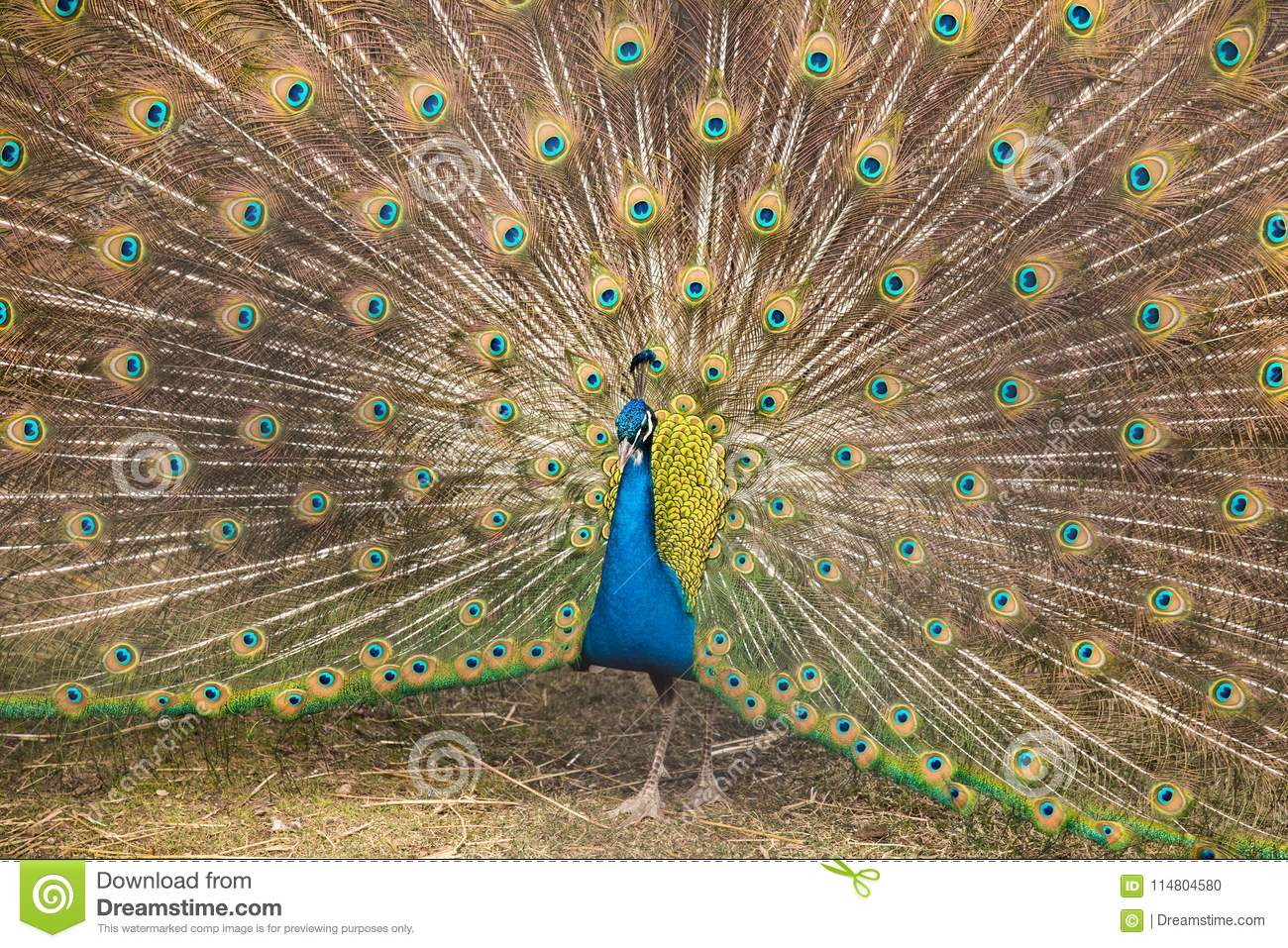 A beautiful peacock at the zoo.