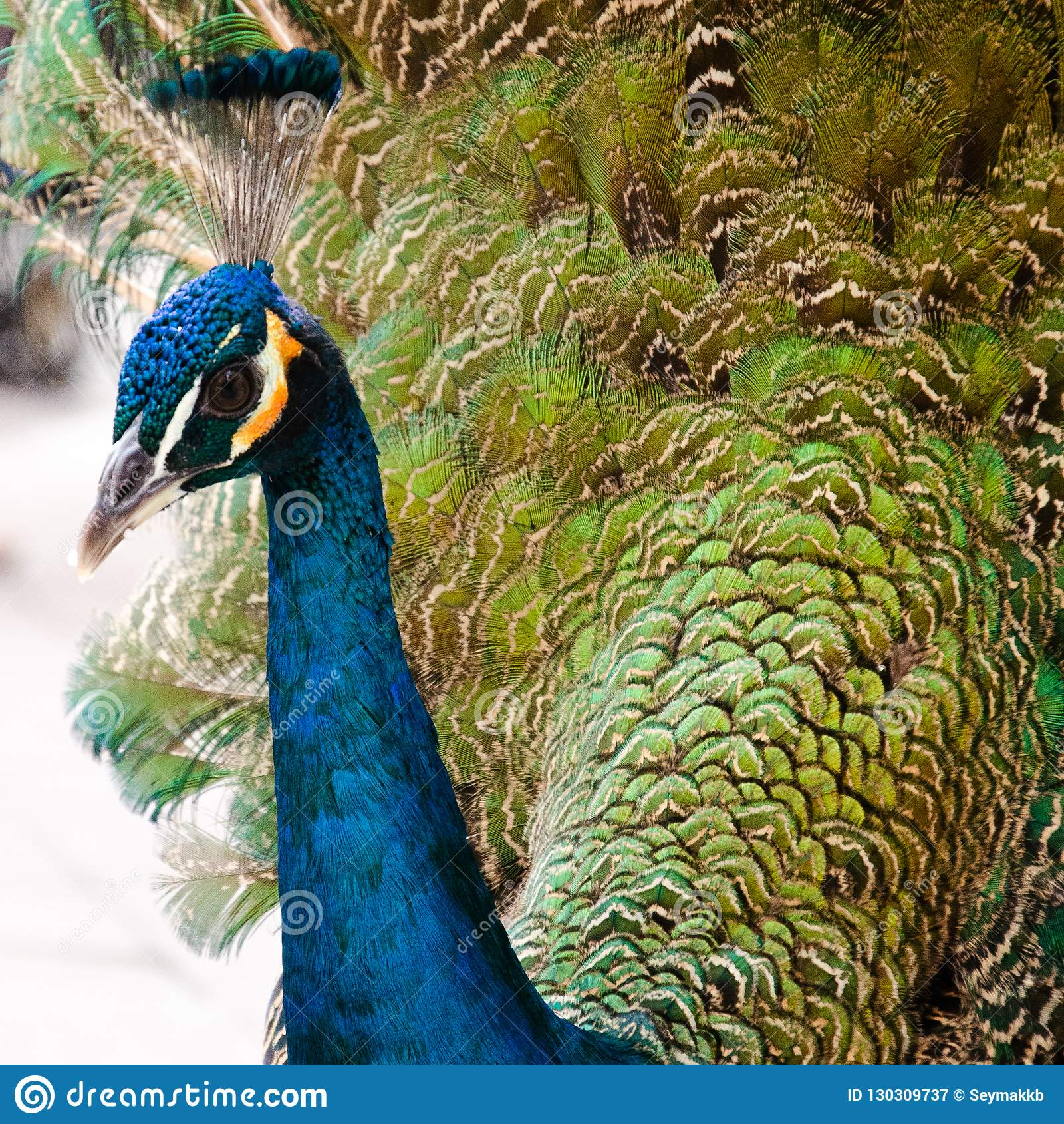 Peafowl Turquoise very Close Shot