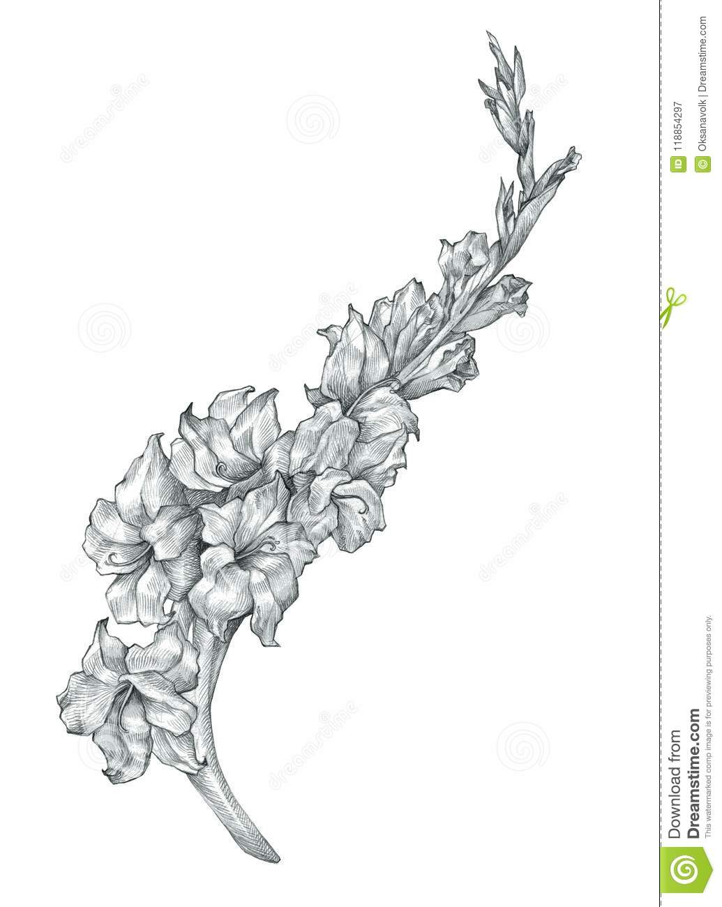 Beautiful Pencil Gladiolus Flower Drawing Sketch Illustration Stock
