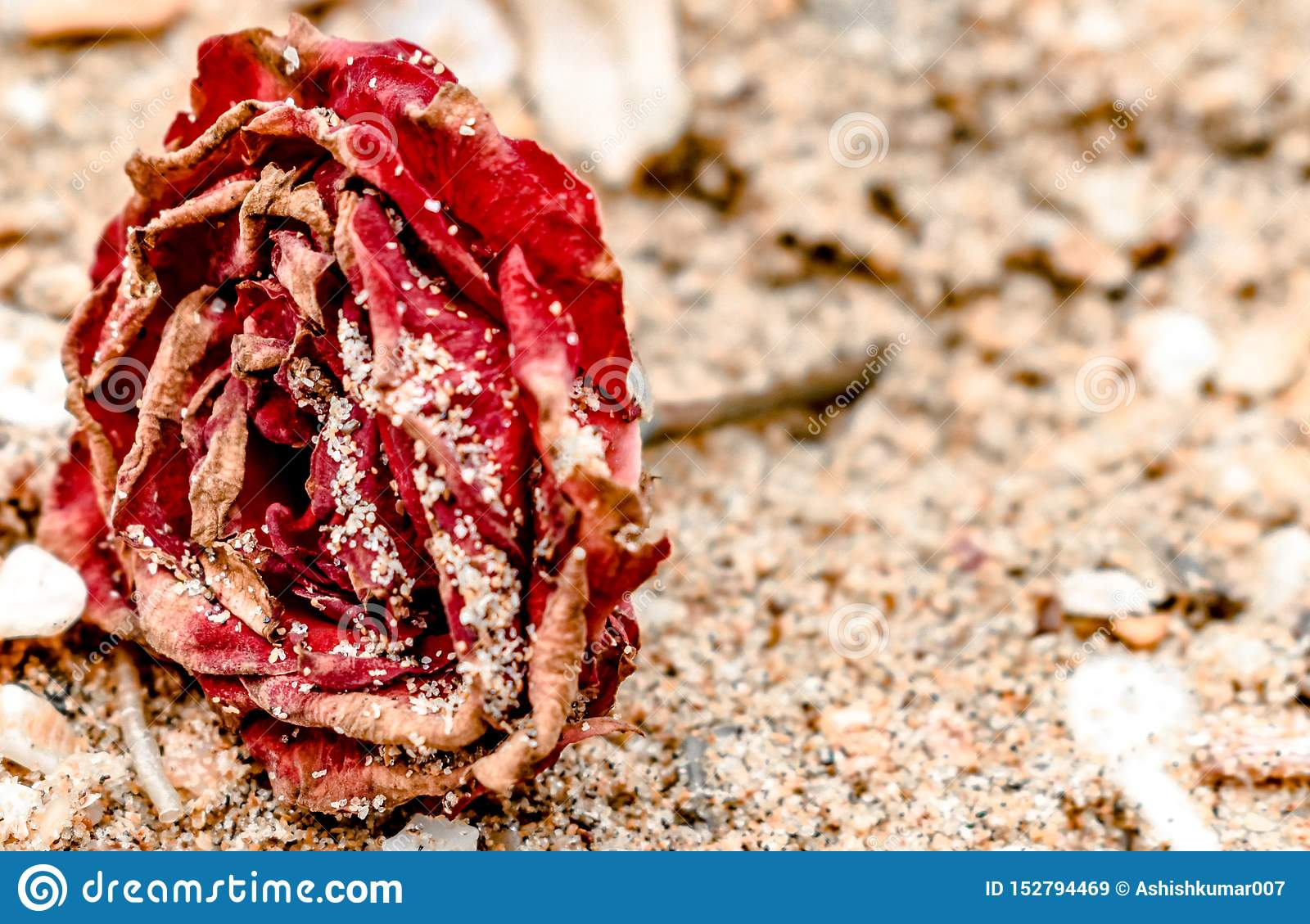 Close up of Dead Rose, red in color, all dried up and lying on the beach, with dry petals covered in sand. like rose on the grave