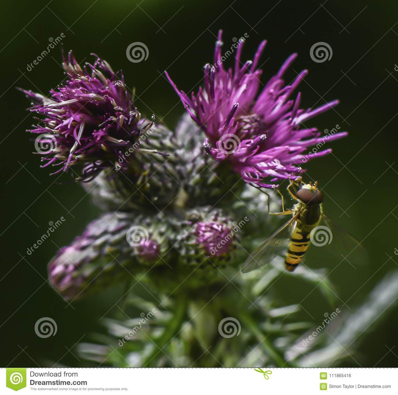 Bee on ultra violet coloured thistle
