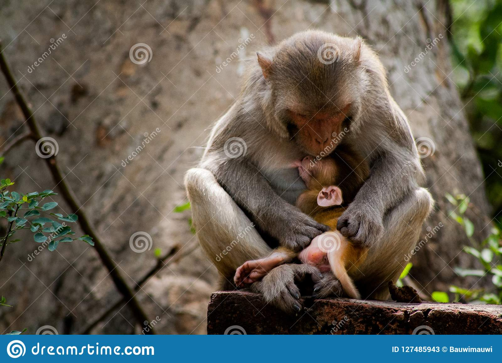 Rhesus Macaques feeding her baby