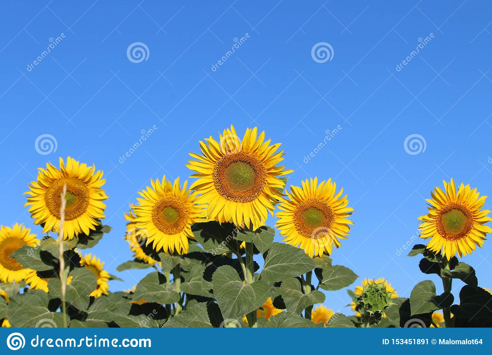 Beautiful picture of sunflowers and soaking up the sun in the field