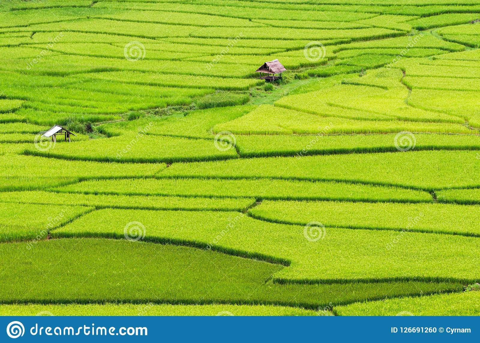 Beautiful And Picturesque Green Rice Paddy Field With ...