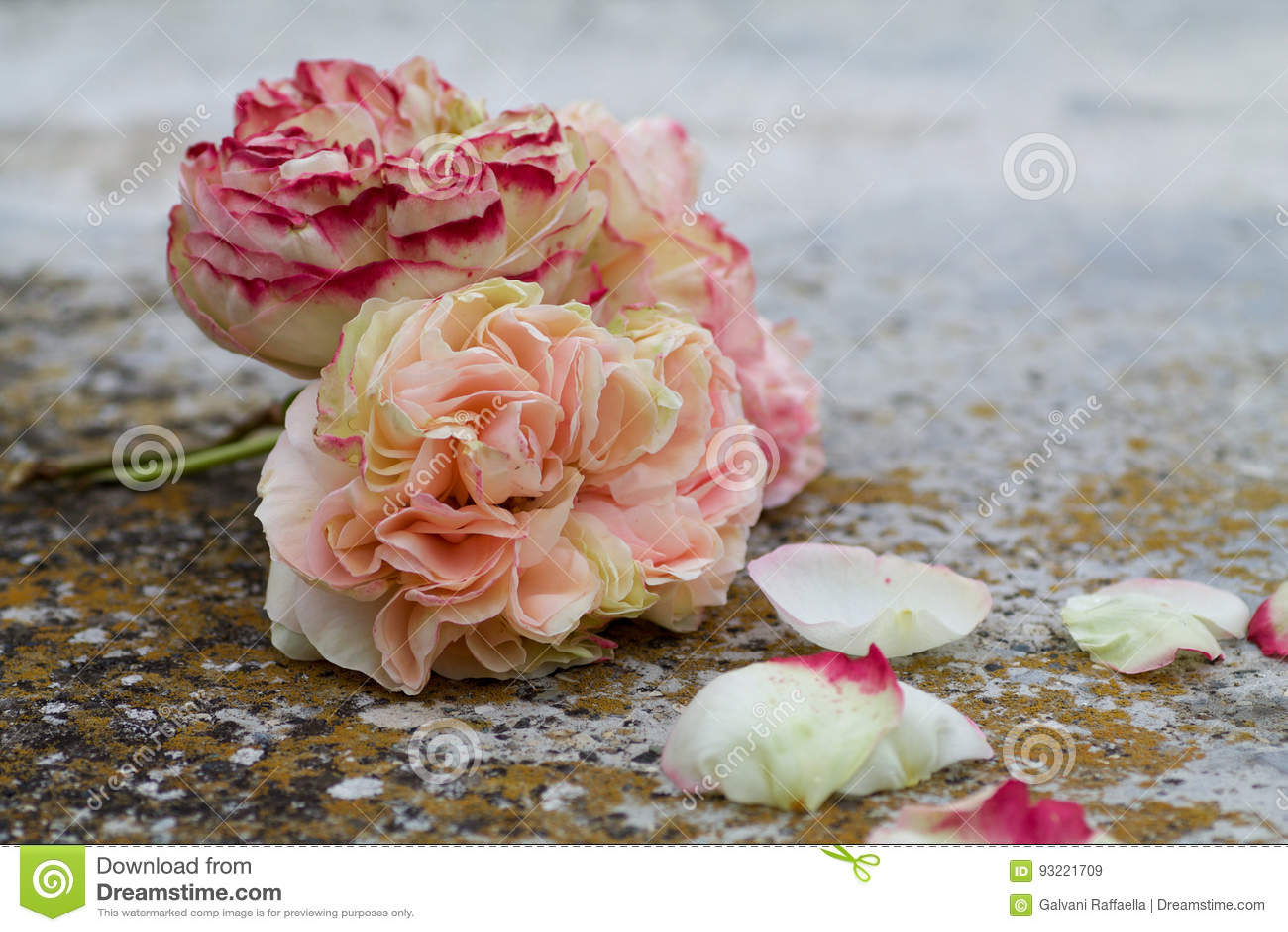 Beautiful Pierre De Ronsard Rose Lean On The Ground Stock