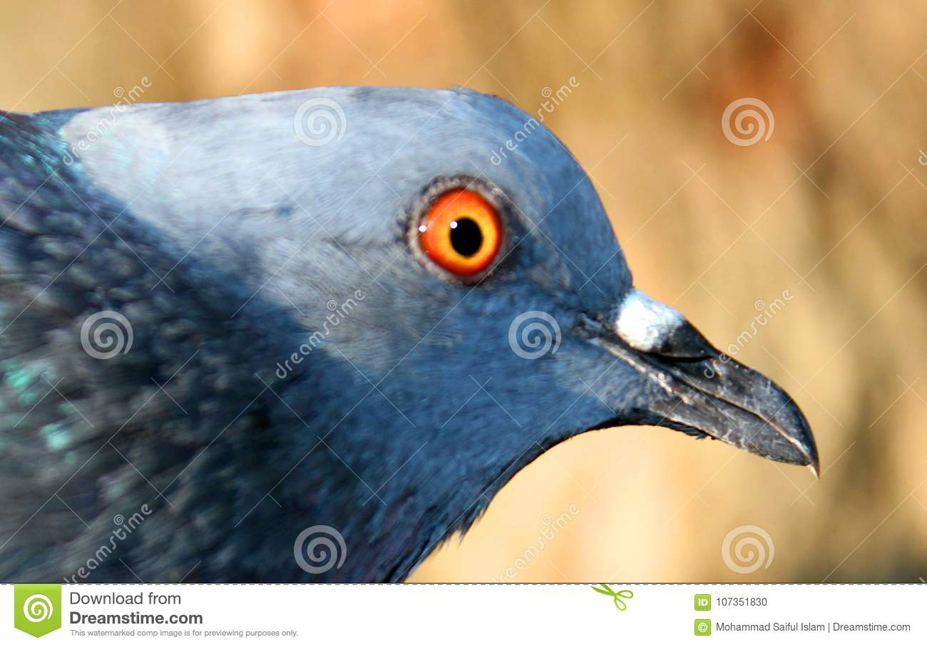 Beautiful Pigeon on Background, Isolated Pigeon