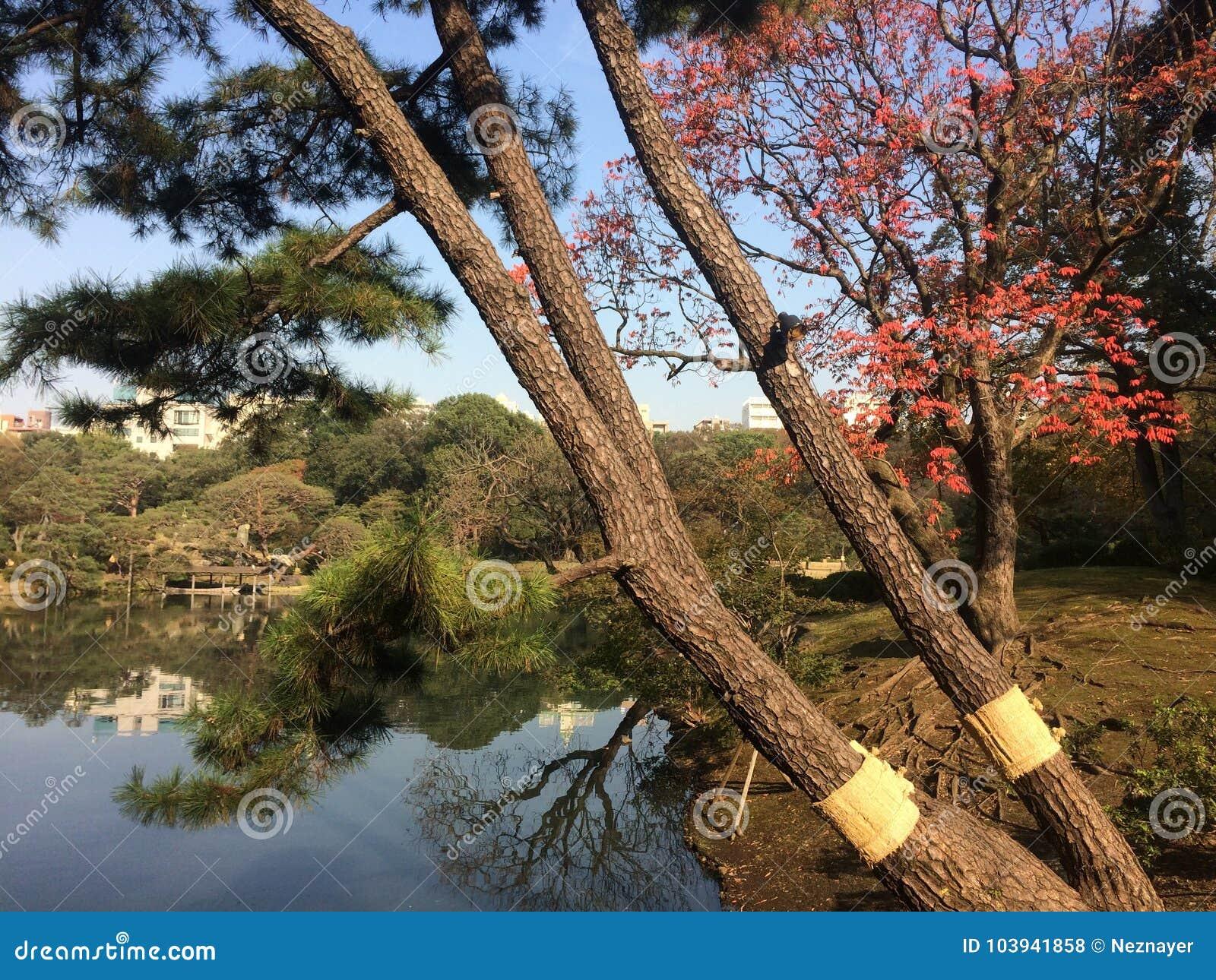 Japanese Pine Tree In Garden Stock Photo - Image of autumn ...