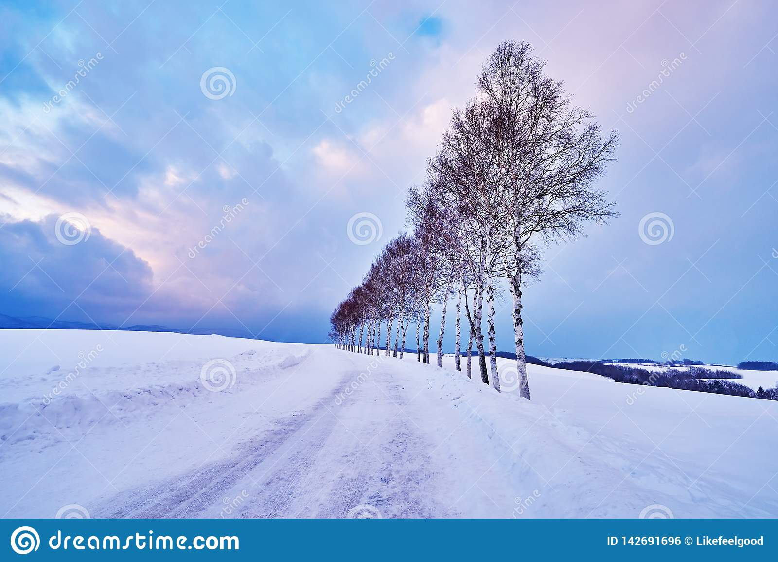Beautiful Pine trees near `Seven star no ki` along the patchwork road in winter at Biei city