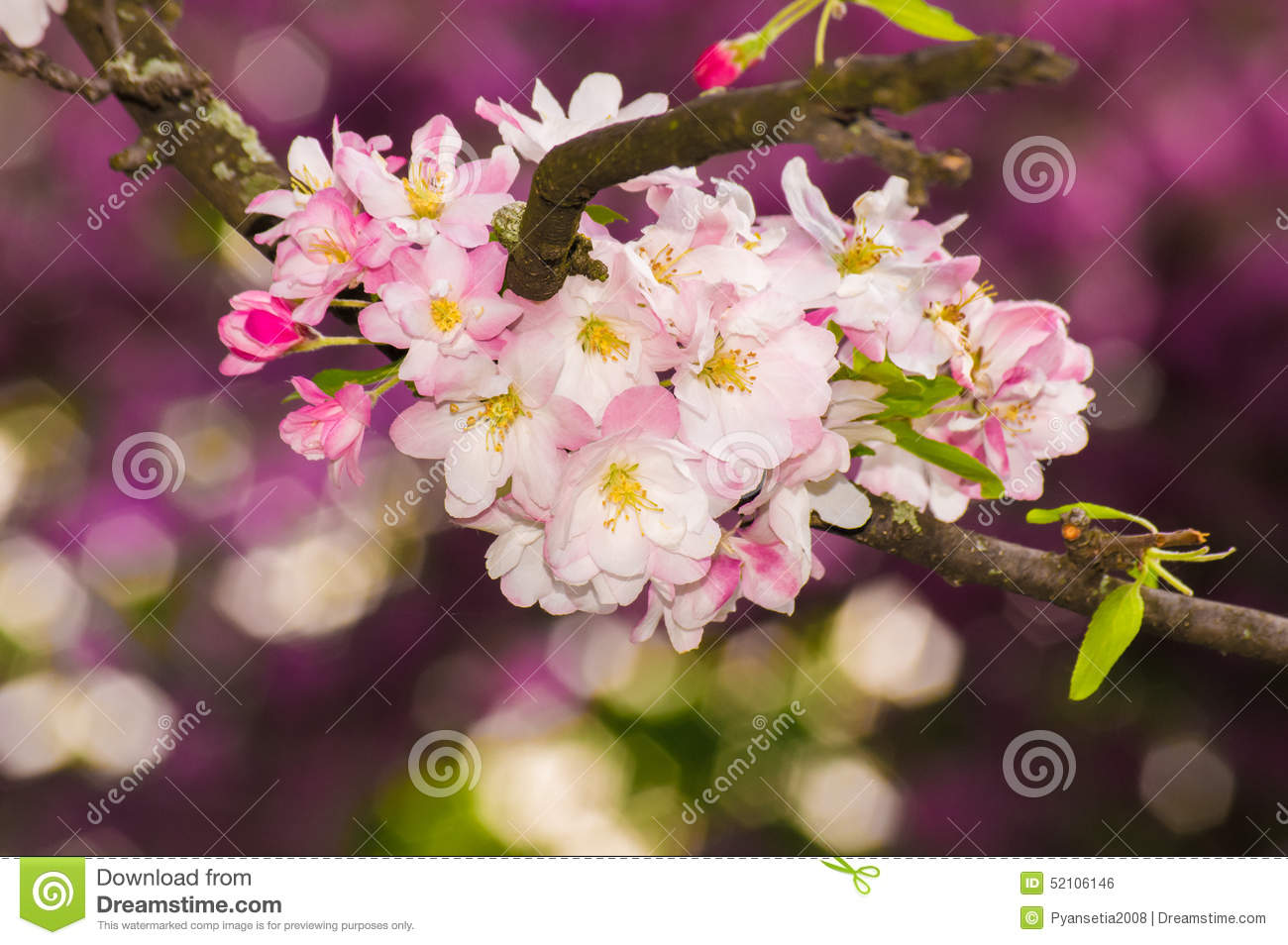 Beautiful Pink Apple Blossom Flower. Soft Focus. Stock ...