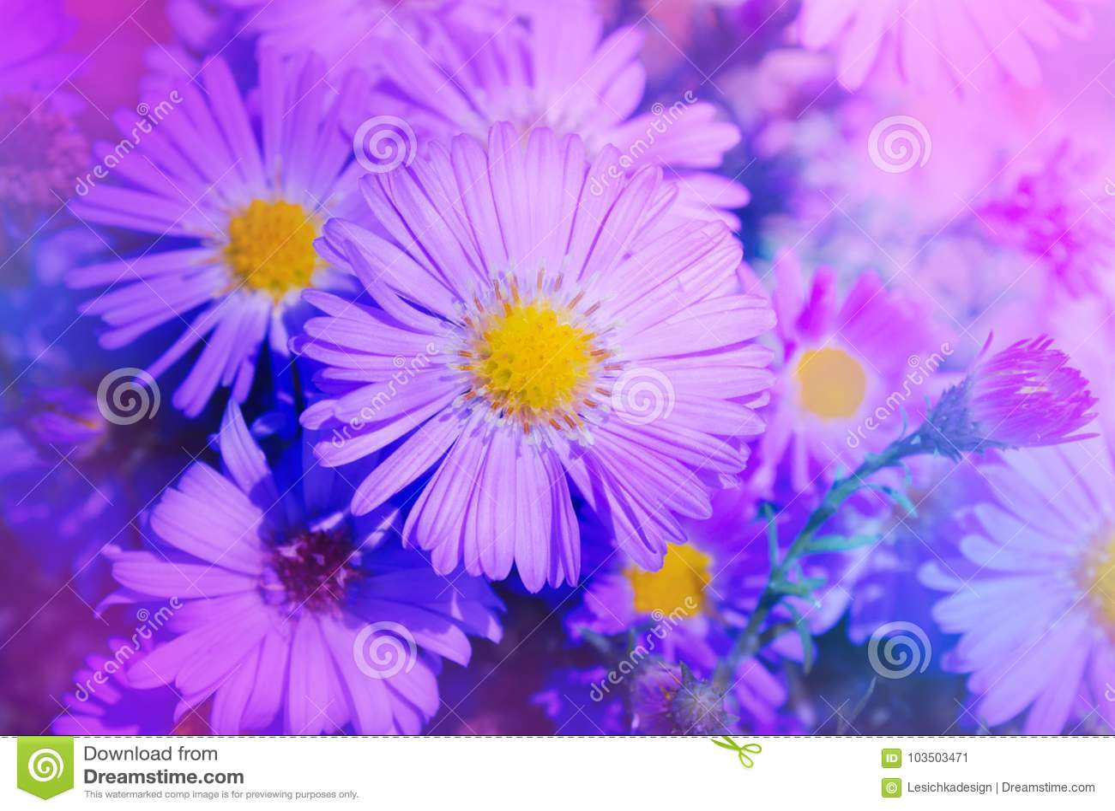 Beautiful Pink Aster Flower Autumn Flowers In The Garden Stock