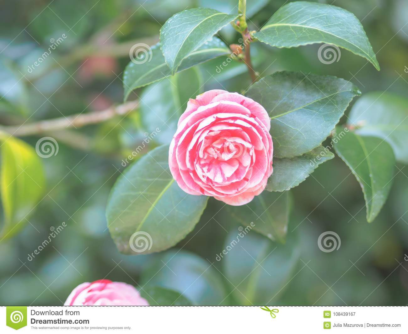 Beautiful Pink Camellia Japonica Japanese Camellia Flower In The