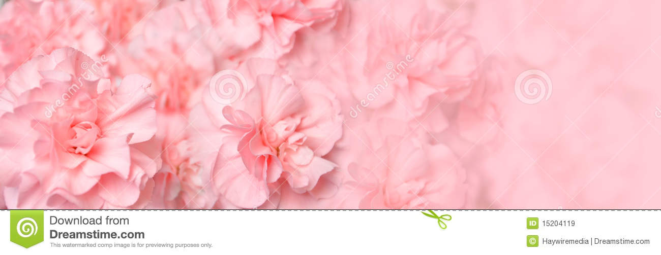 beautiful pink carnation flower header stock image image