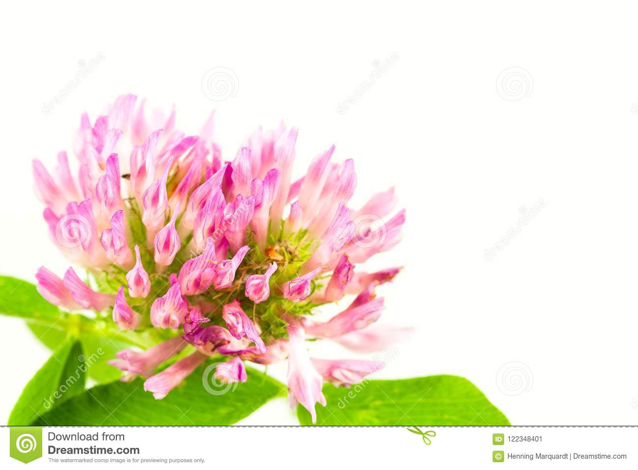 Beautiful Pink Clover Flower Isolated On White Background Stock