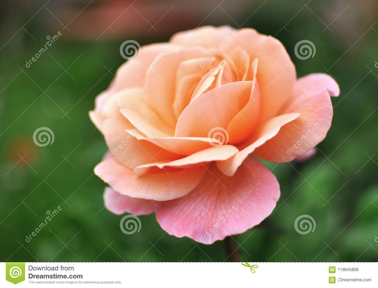Beautiful pink coral English Rose, green backgroung