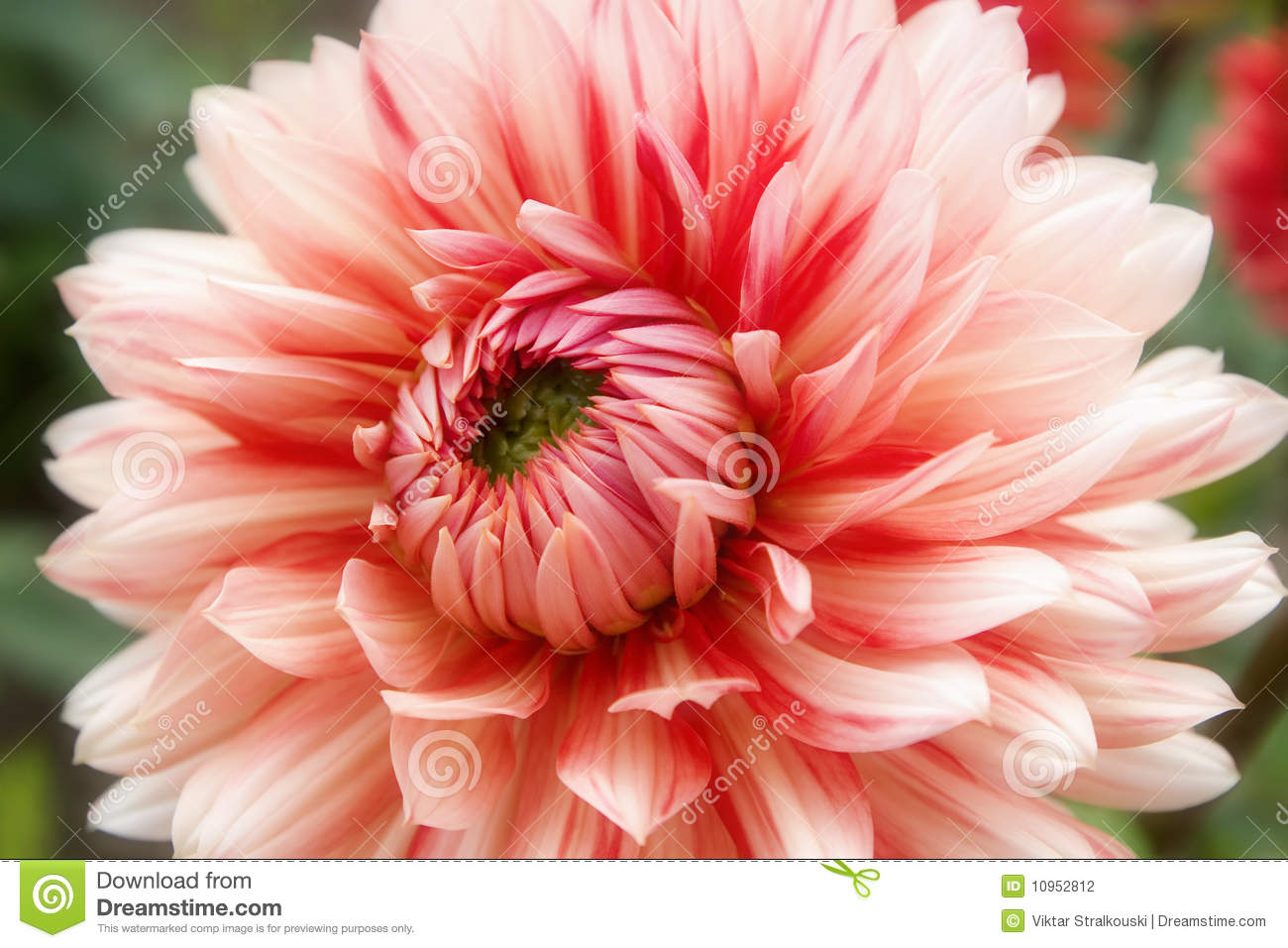 Beautiful Pink And Cream-colored Dahlia Flowers Stock Photo - Image ...