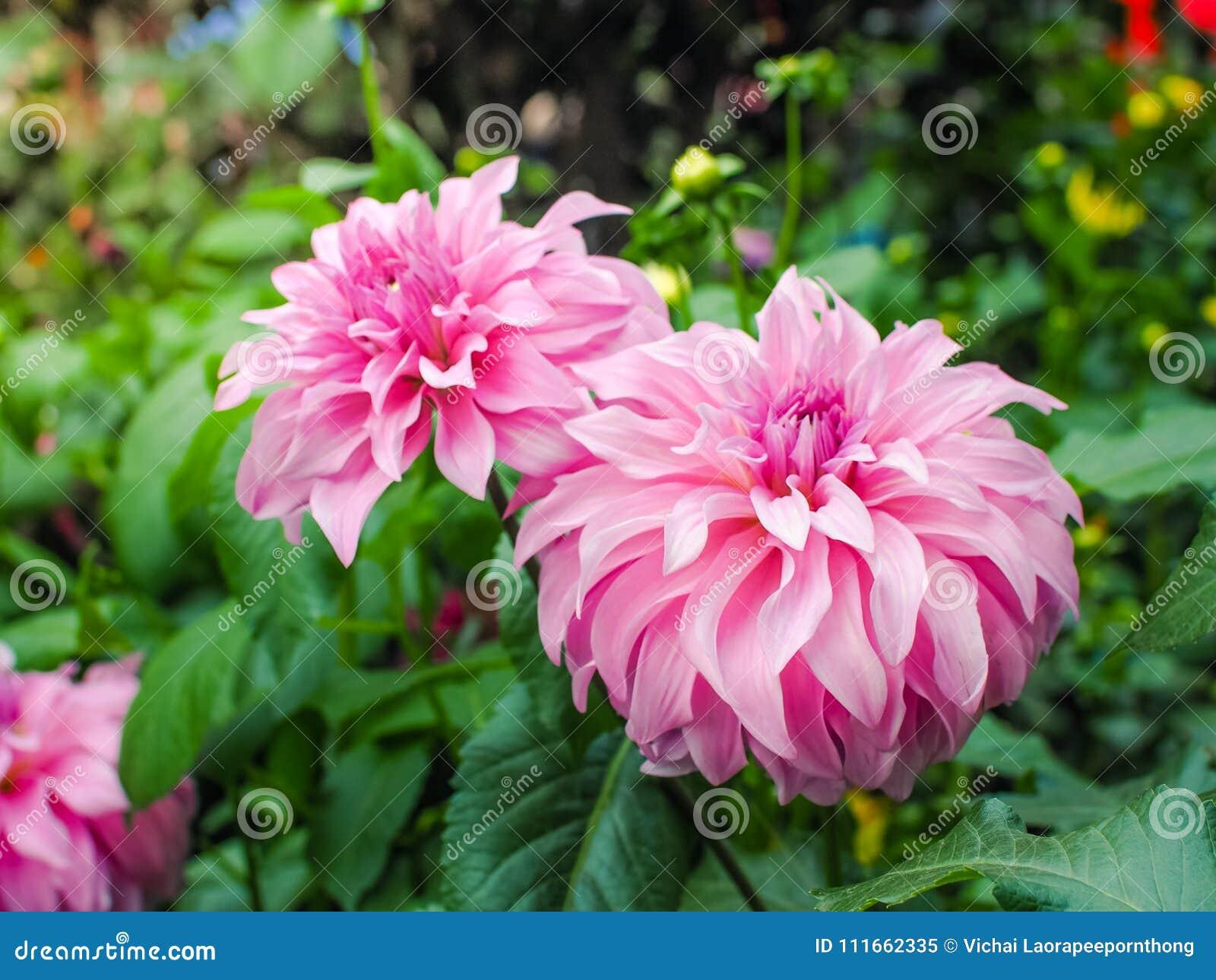 Beautiful Pink Dahlia Flower In Garden Stock Image Image Of