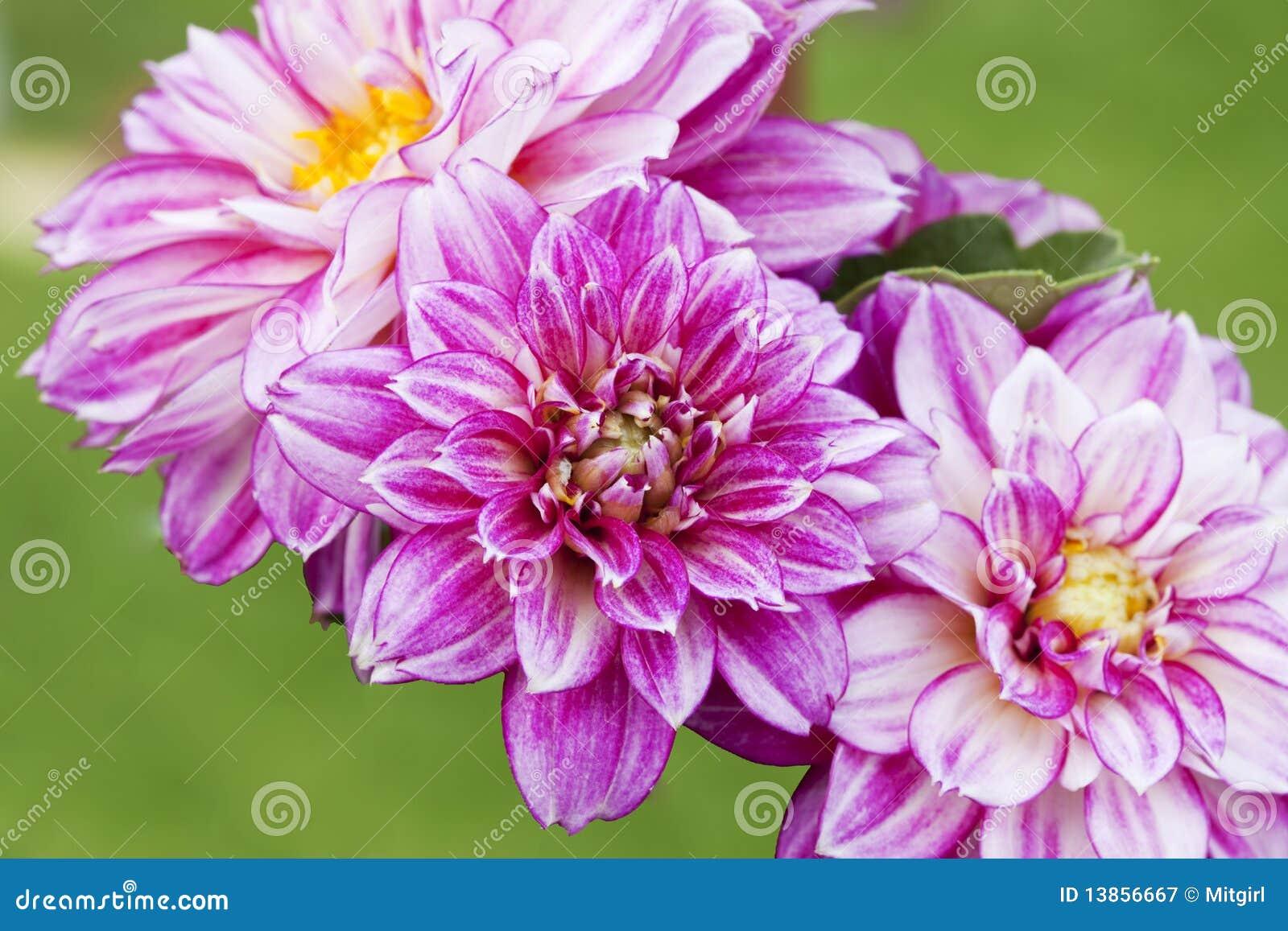 Beautiful pink dahlia flowers stock image image of season download beautiful pink dahlia flowers stock image image of season beautiful 13856667 izmirmasajfo
