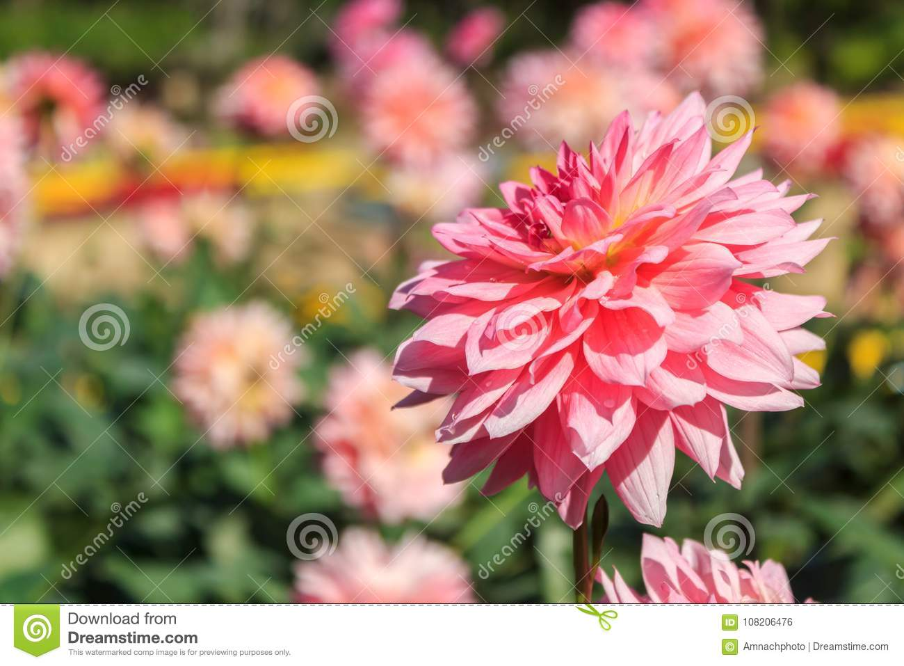 Beautiful pink dahlia flowers stock photo image of flower beautiful pink dahlia flowers izmirmasajfo