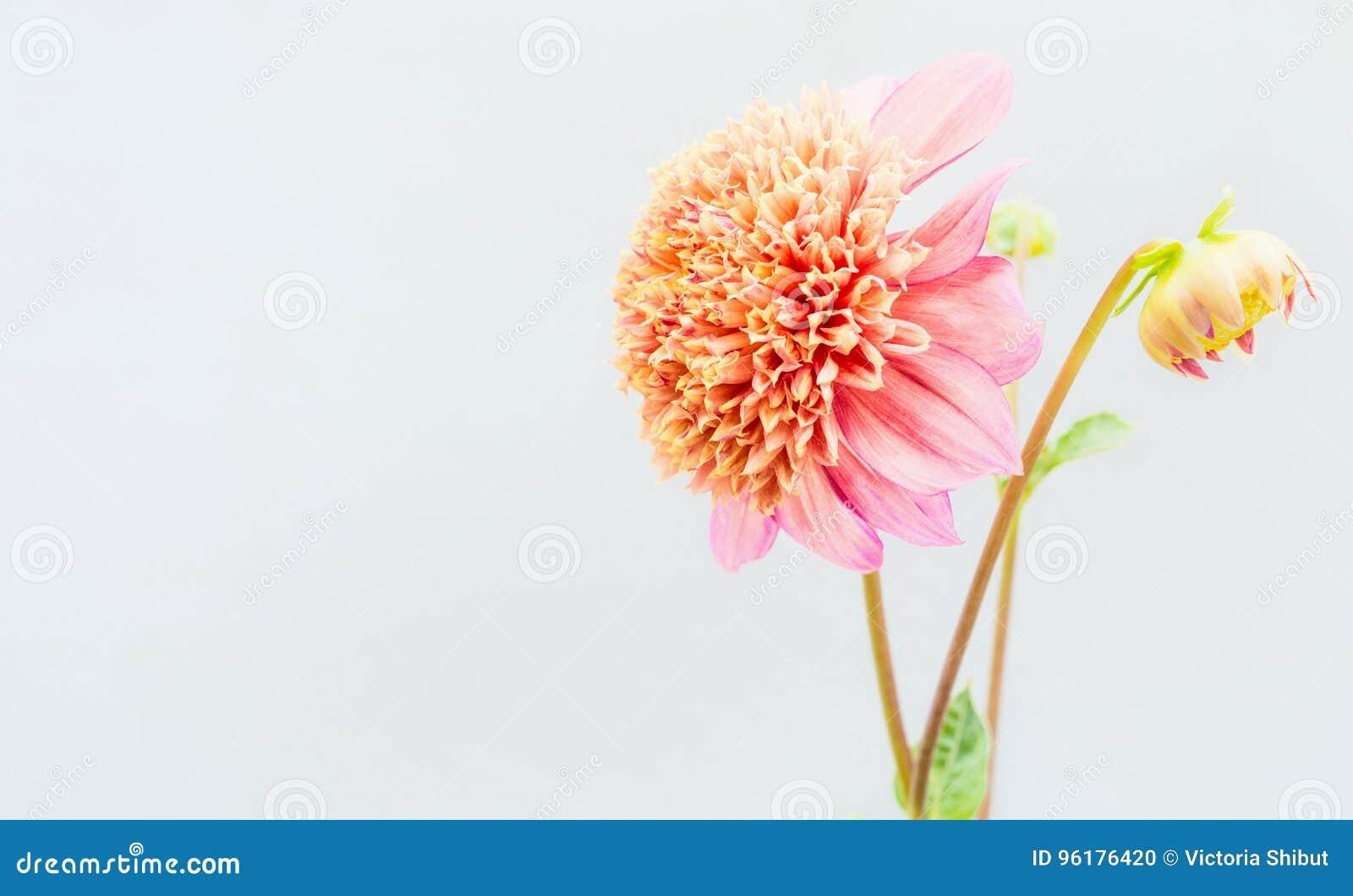 Beautiful pink Dahlia flowers at light wall
