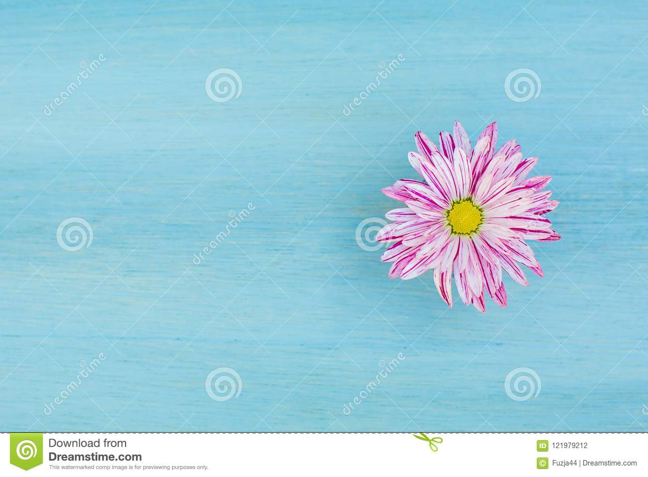 Beautiful pink daisy flower on the blue wooden background.