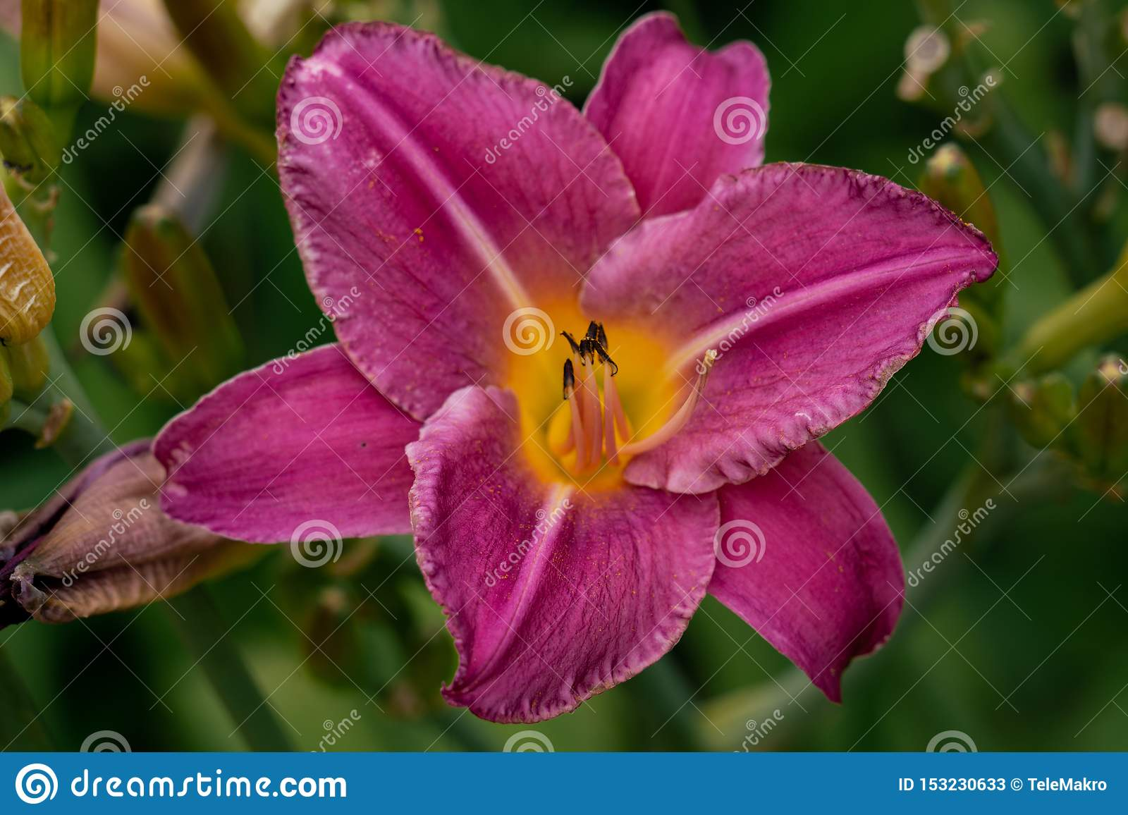 Beautiful pink day lily flower head against a green bokeh background