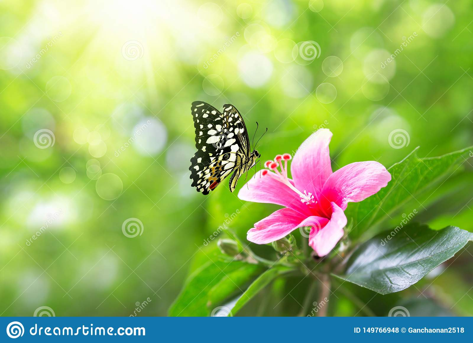 Beautiful pink flower anemones fresh spring morning on nature and fluttering butterfly on soft green background, macro