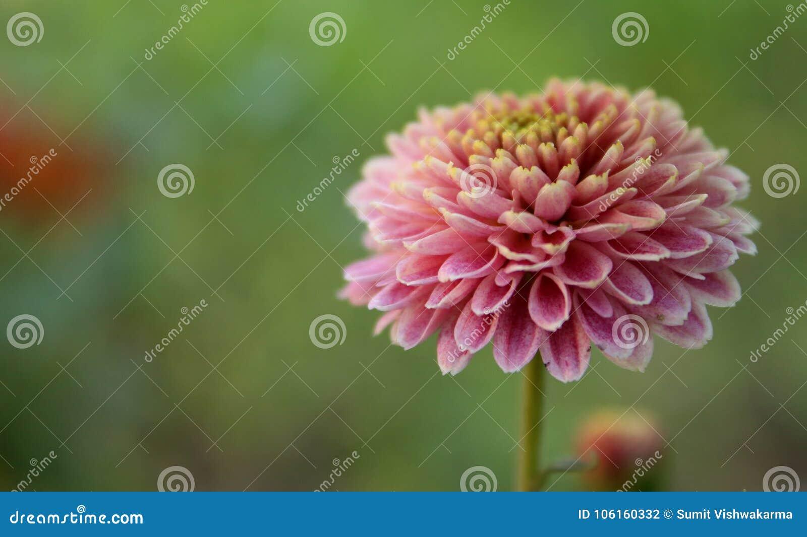 Beautiful pink flower with bkured background stock photo image of beautiful pink flower with bkured background izmirmasajfo