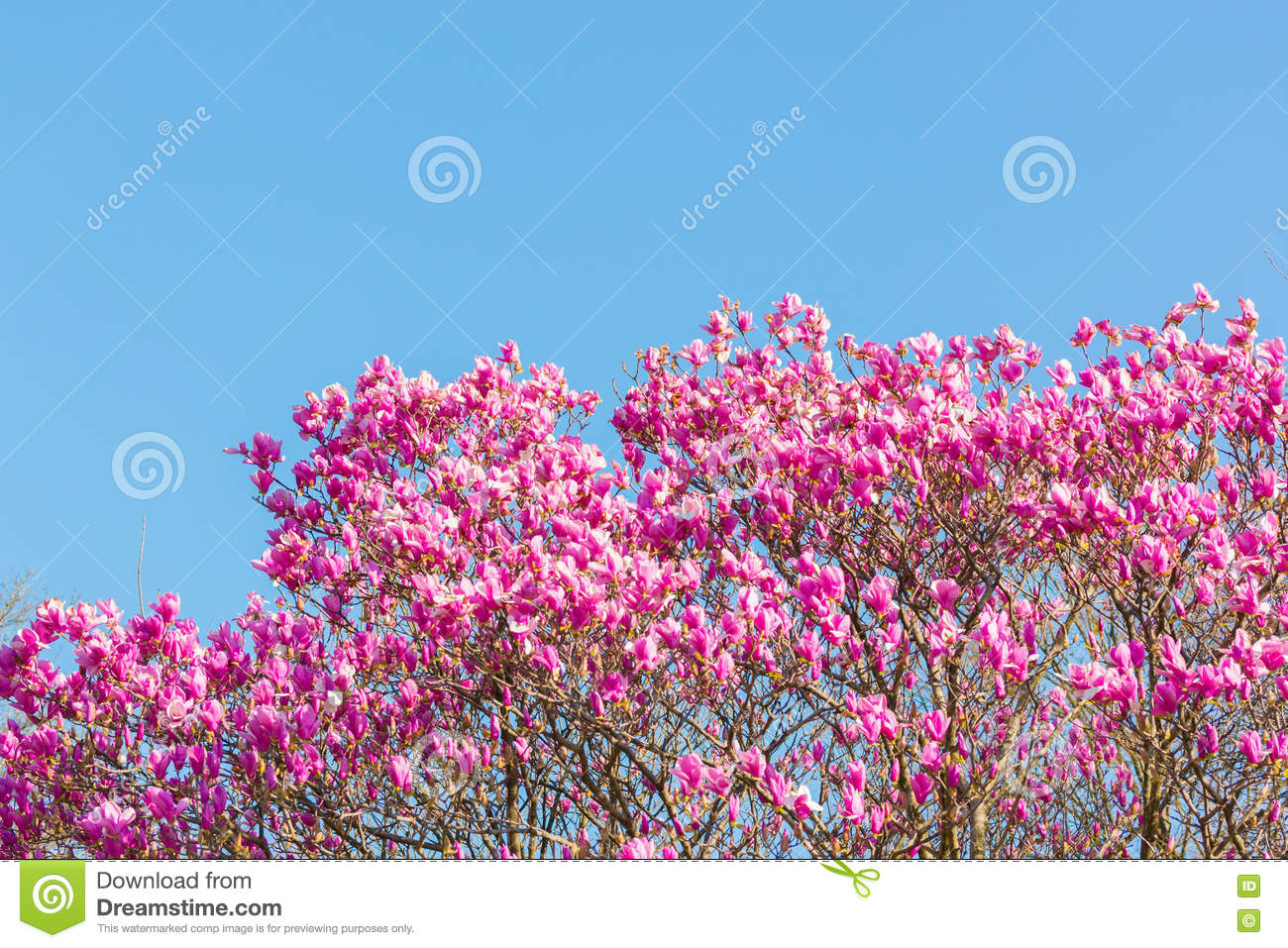Beautiful Pink Flower With Blue Sky Scientific Name Pink Haze