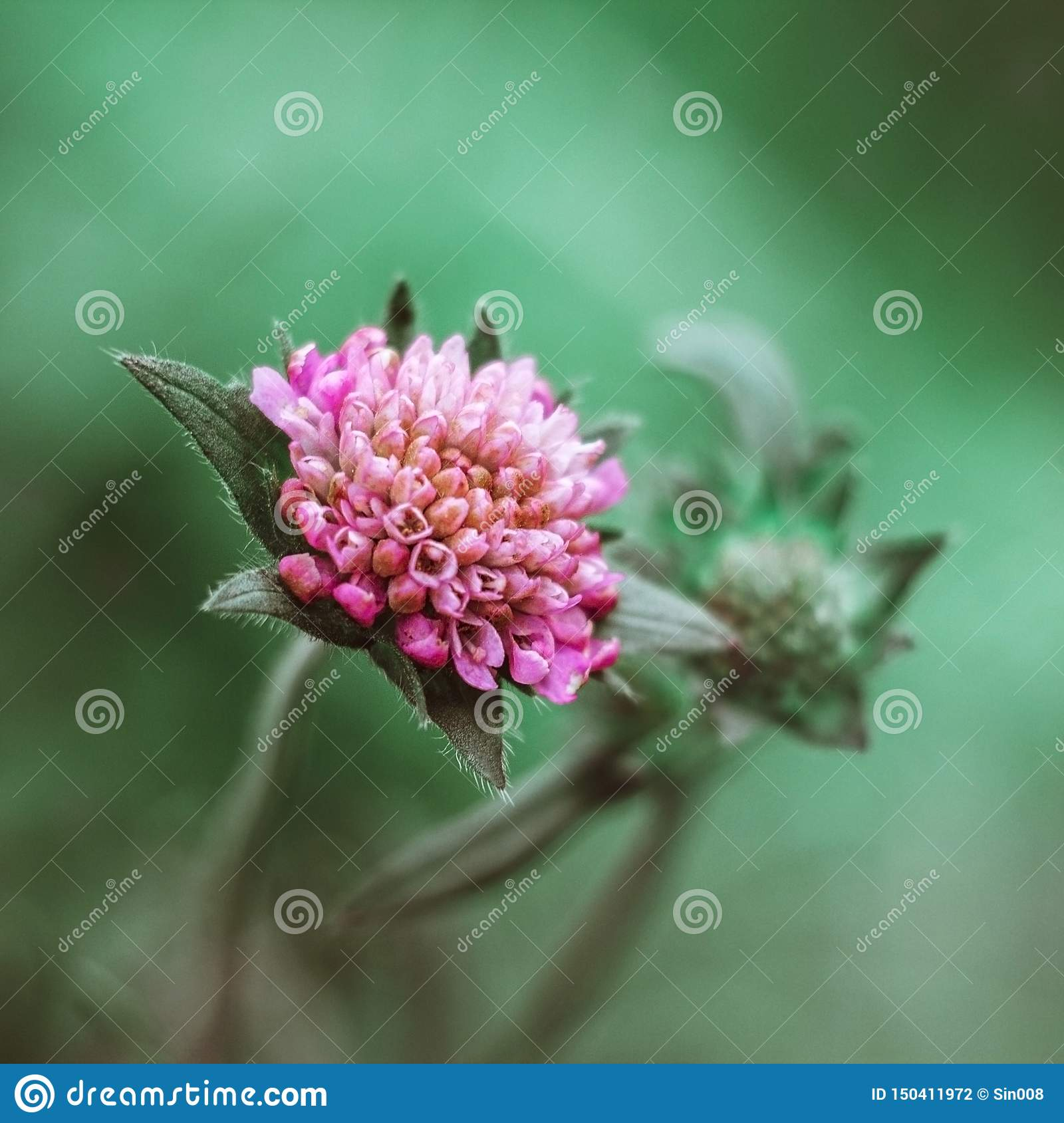 Beautiful pink flower field scabious, gypsy rose, pincushion, knautia arvensis on green background close up. Meadow, field flower