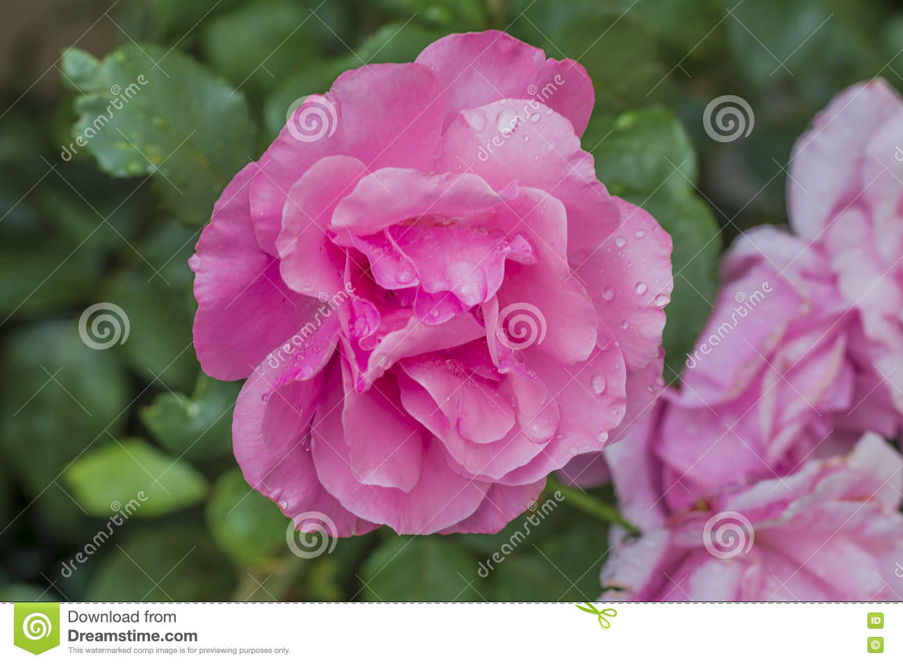 Beautiful Pink Flower 2 Stock Image Image Of Clear Background