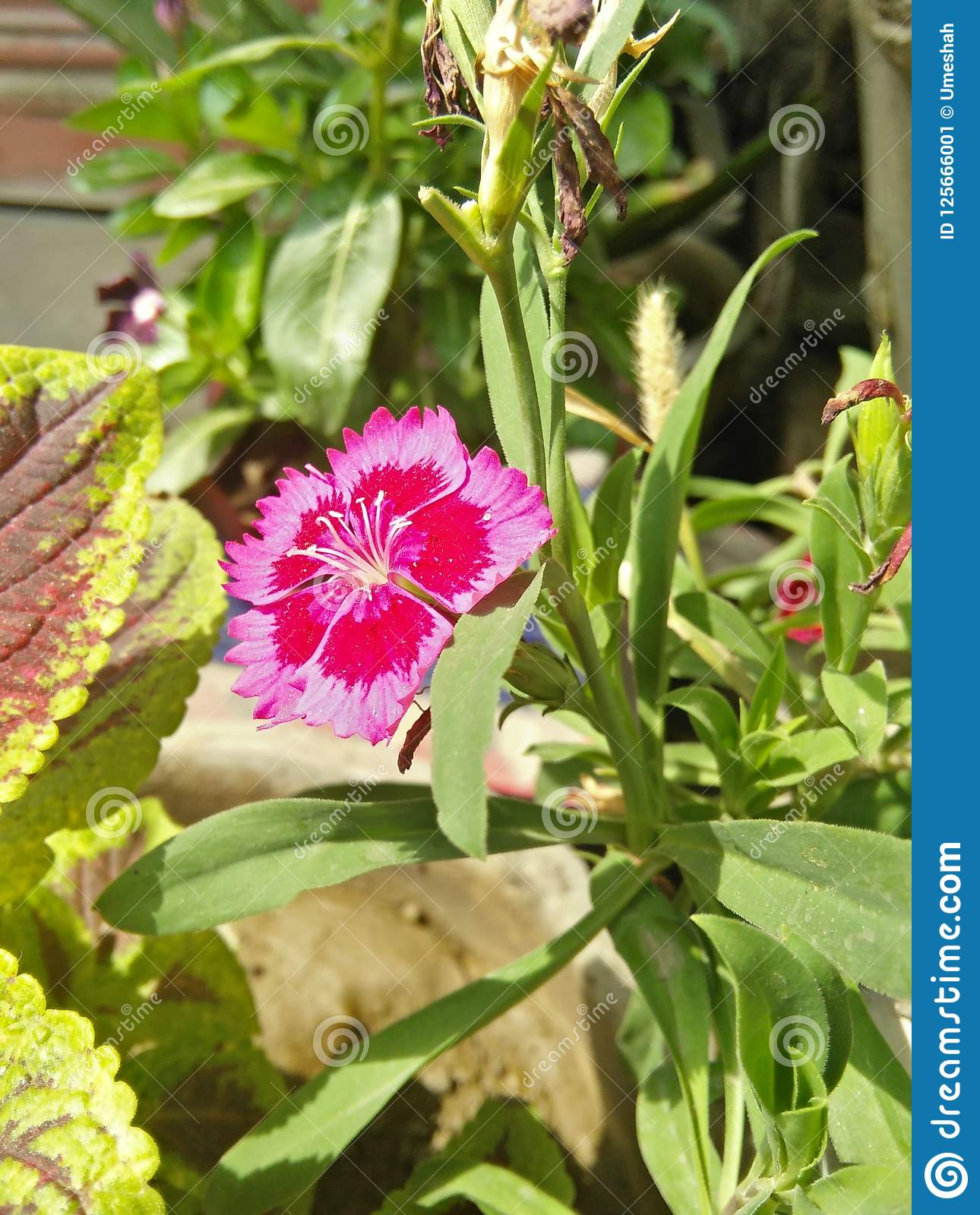 Beautiful Pink Flower Stock Image Image Of Looking 125666001