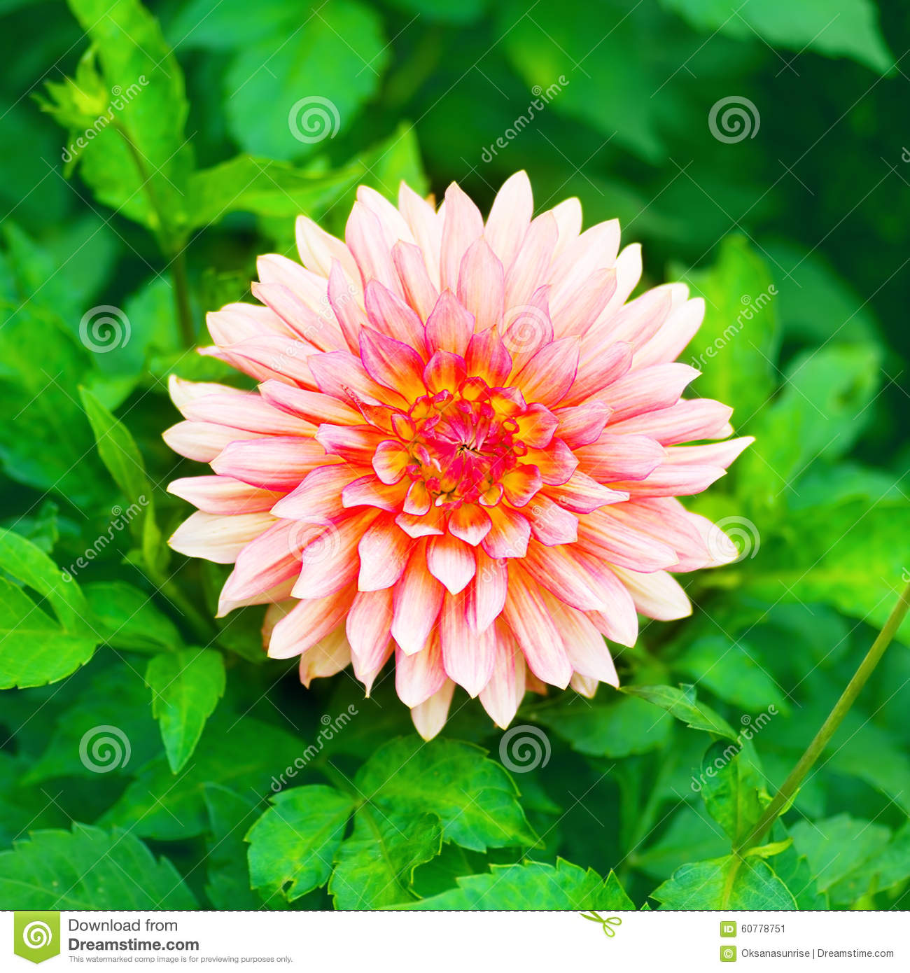 Beautiful Pink Flower In A Garden Stock Image Image Of Beauty