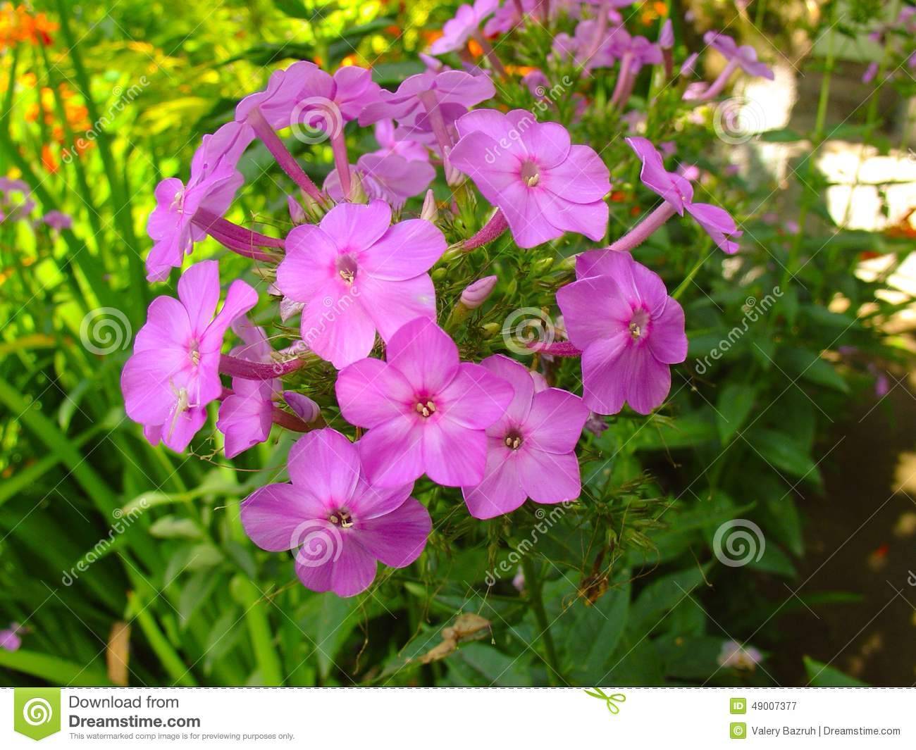 Beautiful Pink Flower In A Garden Stock Image Image Of Colorful
