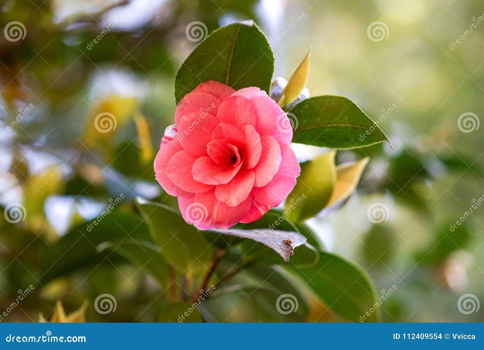Beautiful Pink Flower Of Japanese Camellia Stock Photo Image Of