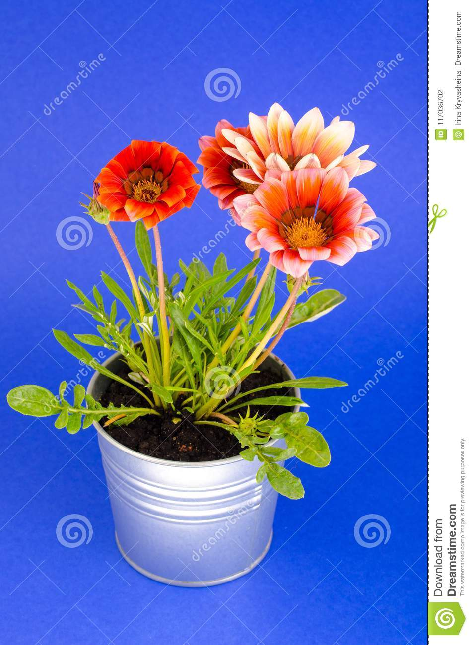 Beautiful pink flower in metal pot on bright pastel background