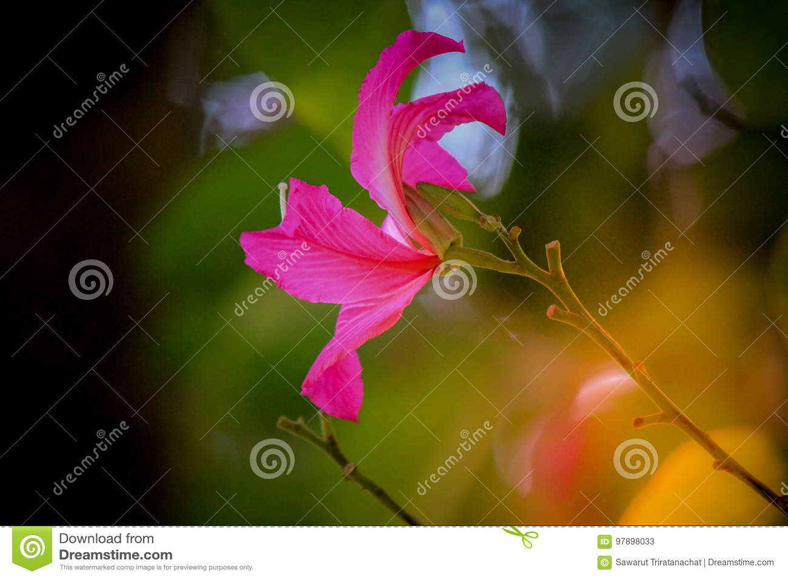Beautiful Pink Flowerphanera Purpureaorchid Treehong Kong Orchid