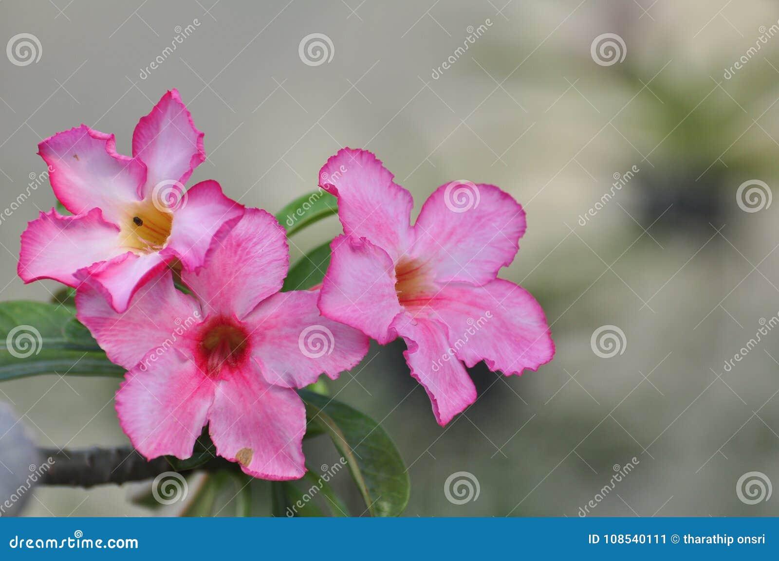 Pink Desert Rose Flowerautiful Pink Flowers Stock Image Image