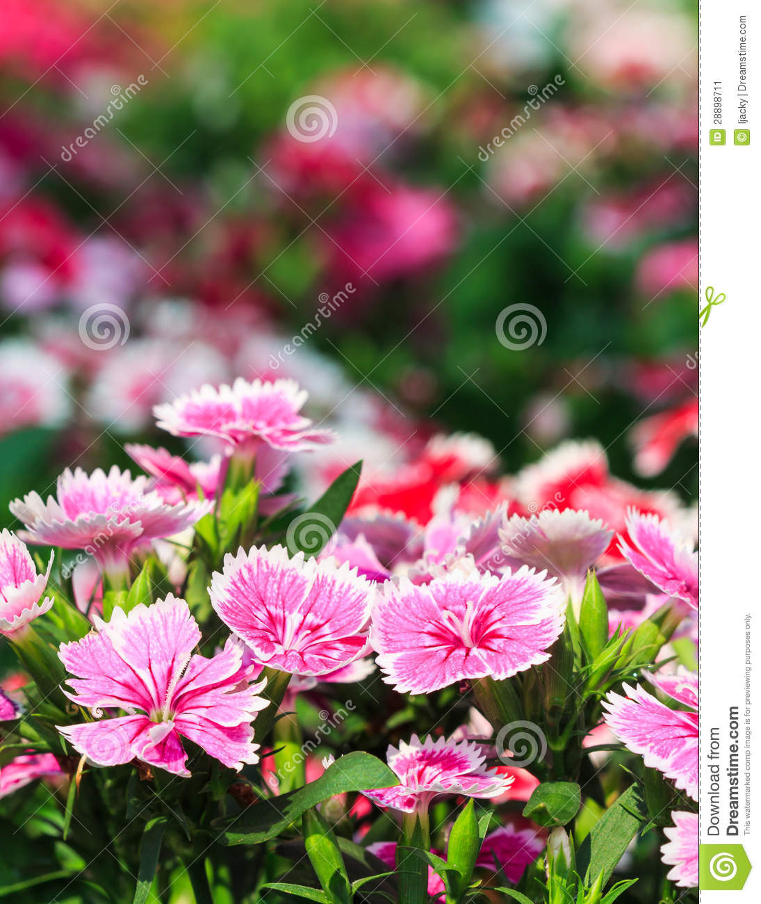 Beautiful Pink Flowers In The Garden Stock Image Image Of Grass