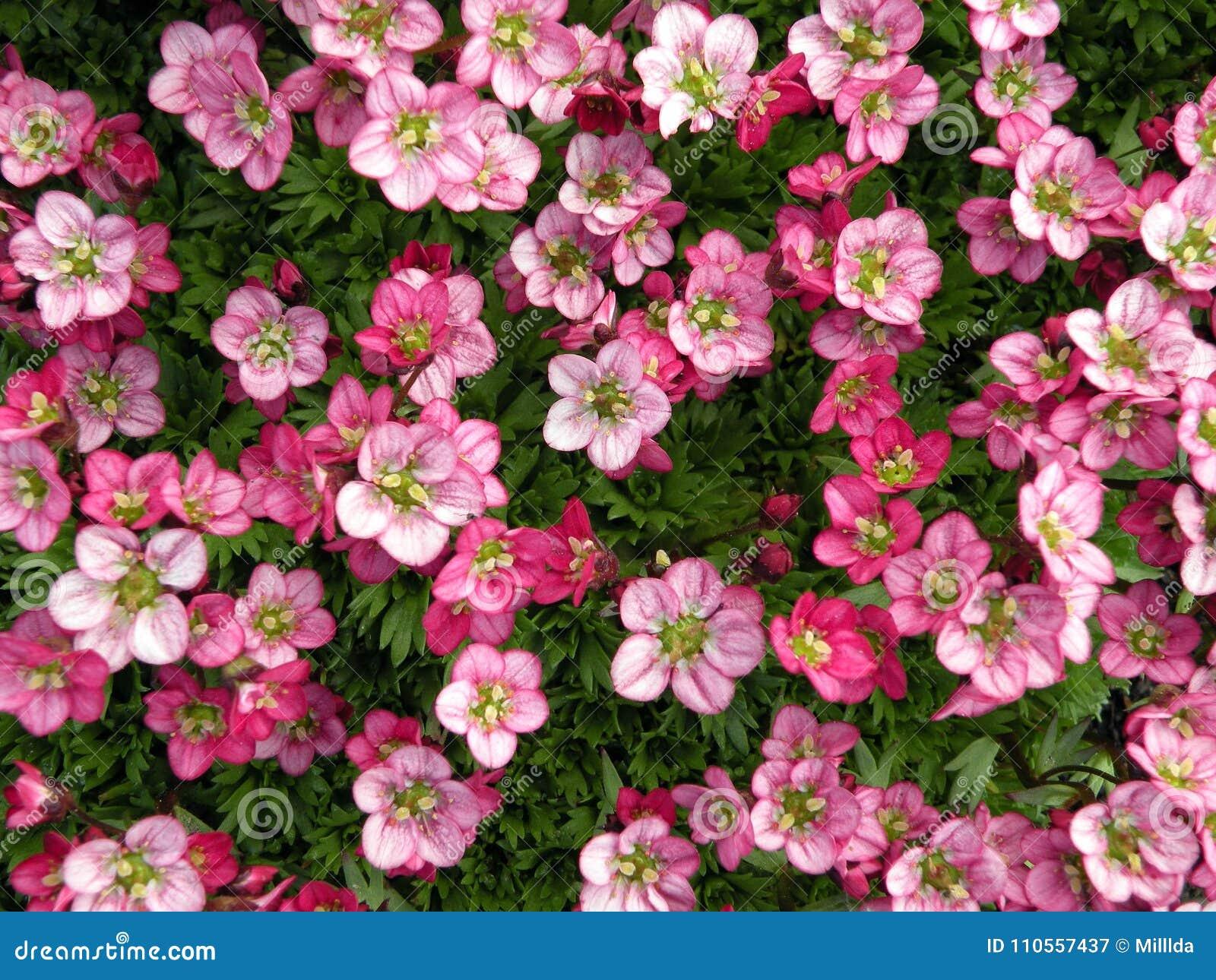 Beautiful pink flowers in garden lithuania stock image image of beautiful pink flowers in garden lithuania mightylinksfo