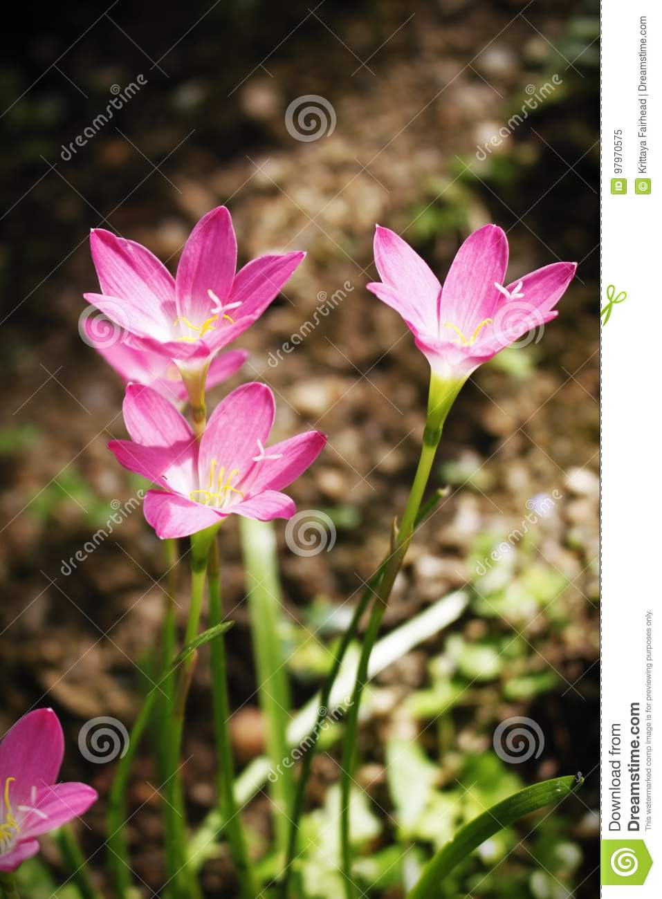 Beautiful pink flowers in the garden rain lily stock image image beautiful pink flowers in the garden rain lily flower blooming in rainy season with soft light of sunset izmirmasajfo