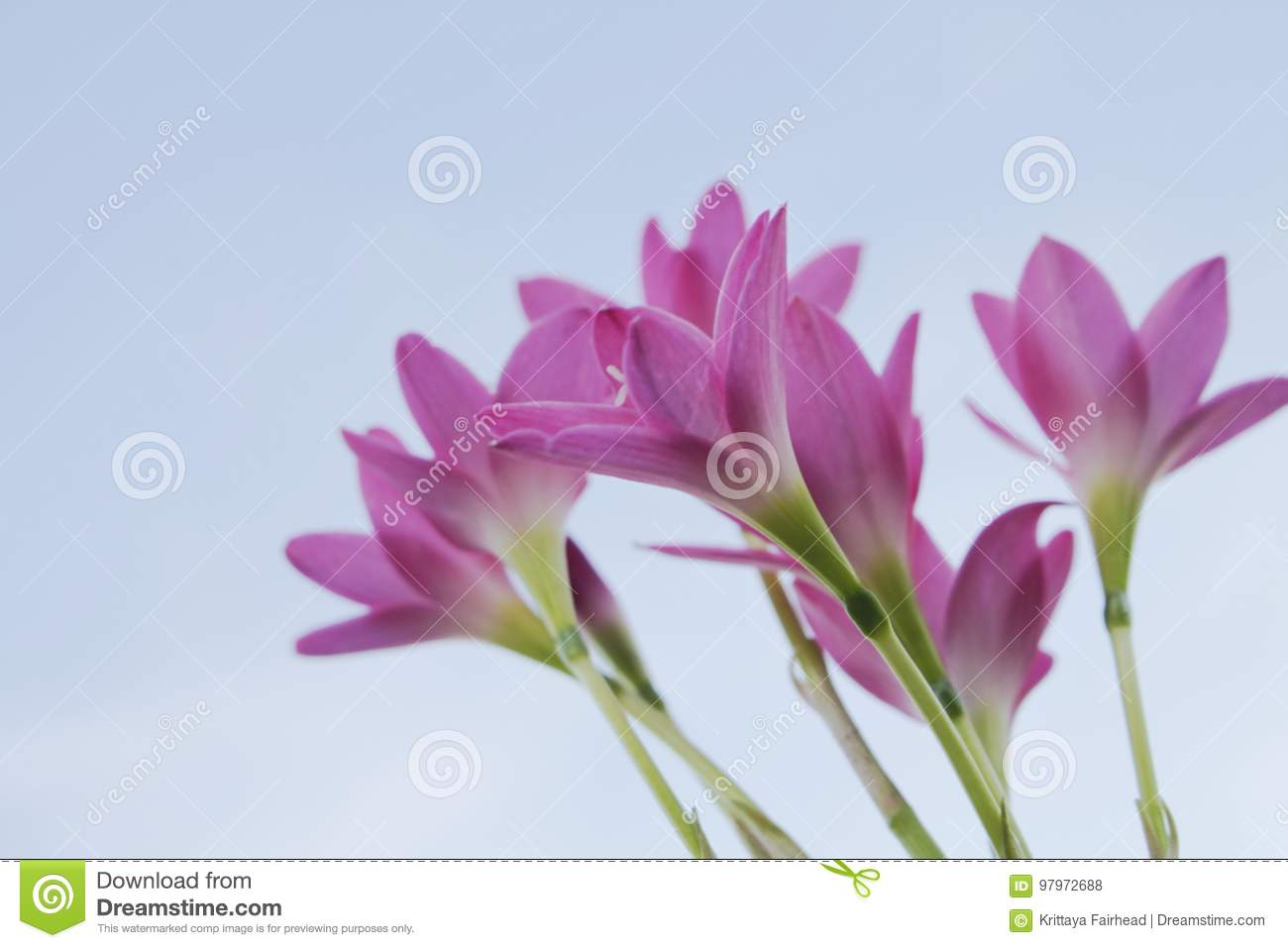 Beautiful pink flowers in the garden rain lily stock photo image beautiful pink flowers in the garden rain lily flower blooming in rainy season with soft light of sunset izmirmasajfo