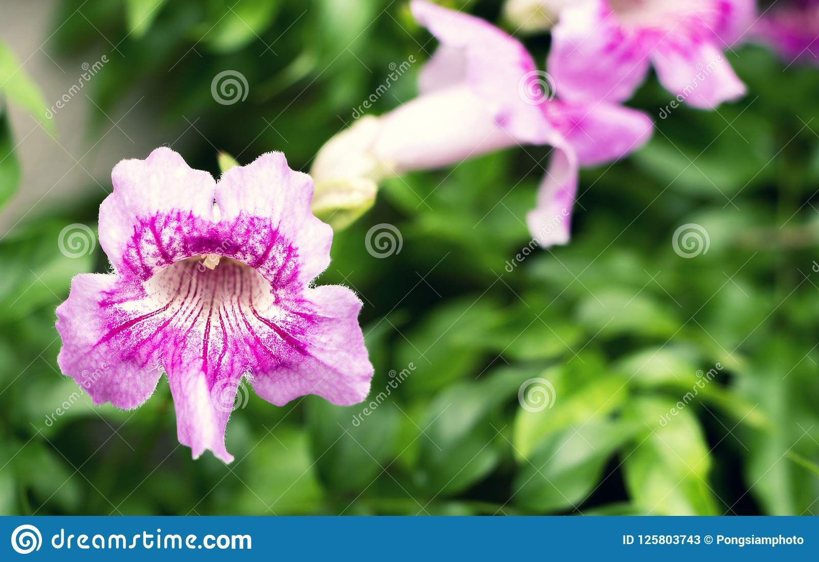 Beautiful Pink Flowers And Green Leaves In The Garden Stock Image