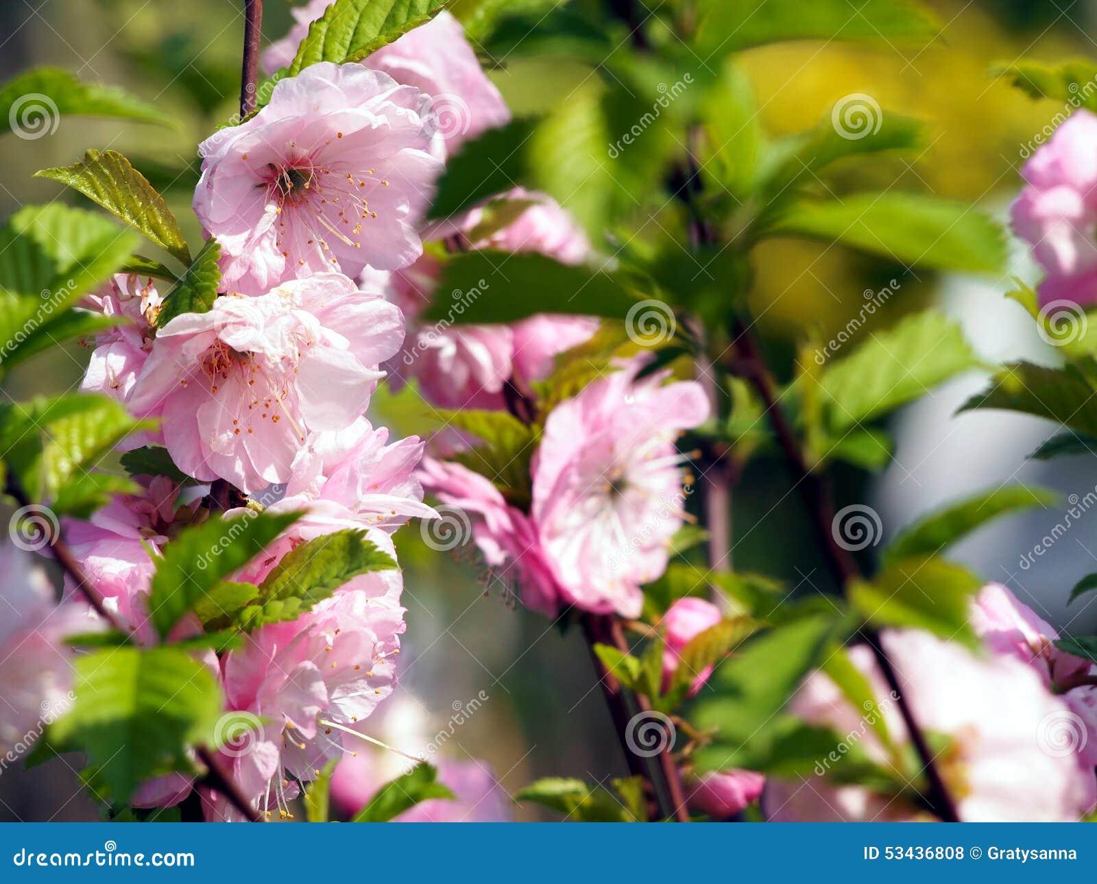 Prunus Triloba Flowering Almond Stock Image