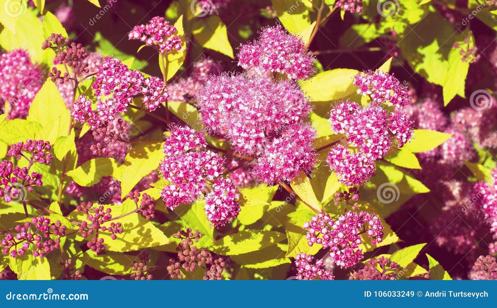 Beautiful pink flowers of summer flowering spiraea a bush with download beautiful pink flowers of summer flowering spiraea a bush with bright golden yellow foliage mightylinksfo