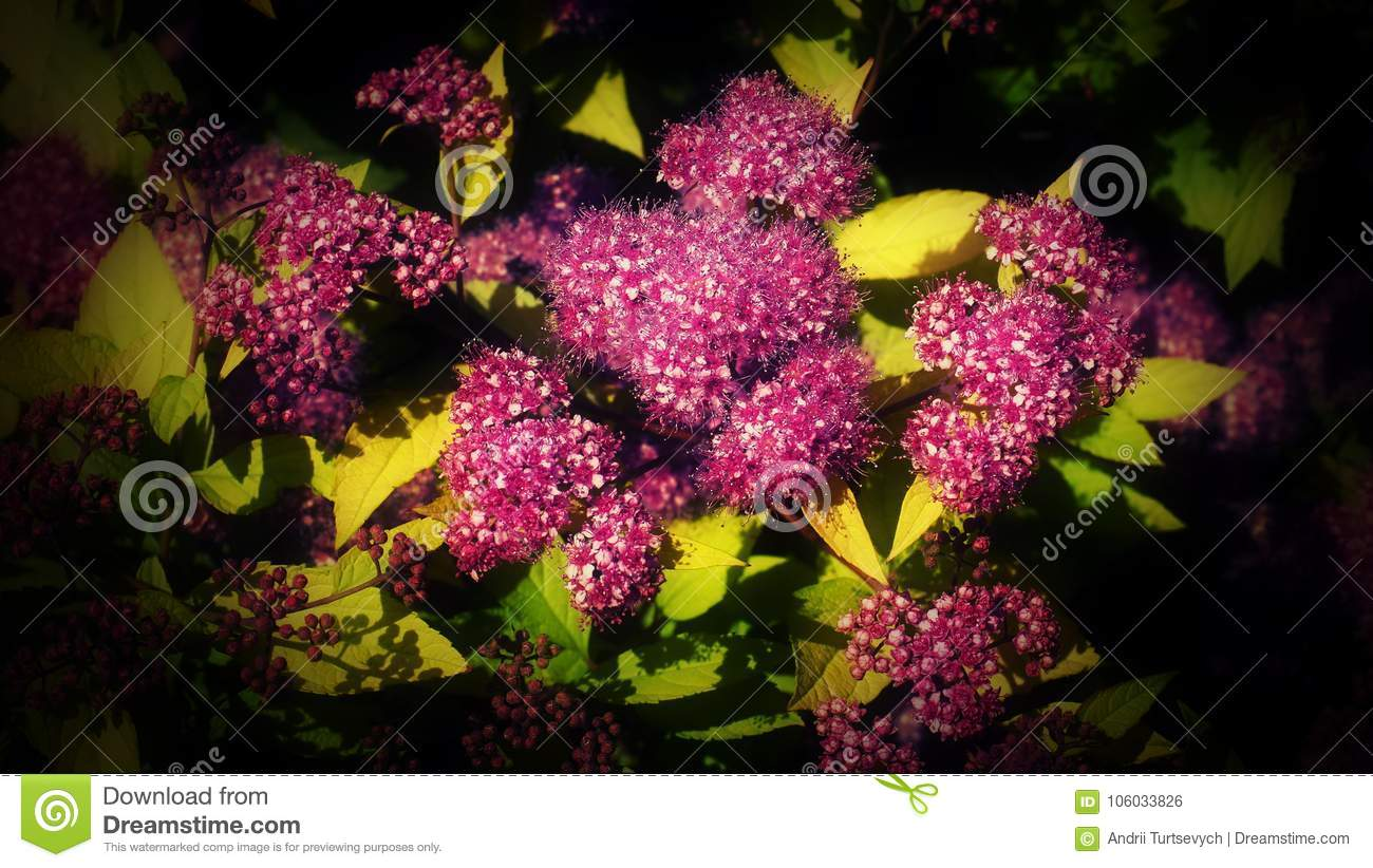 Beautiful Pink Flowers Of Summer Flowering Spiraea A Bush With