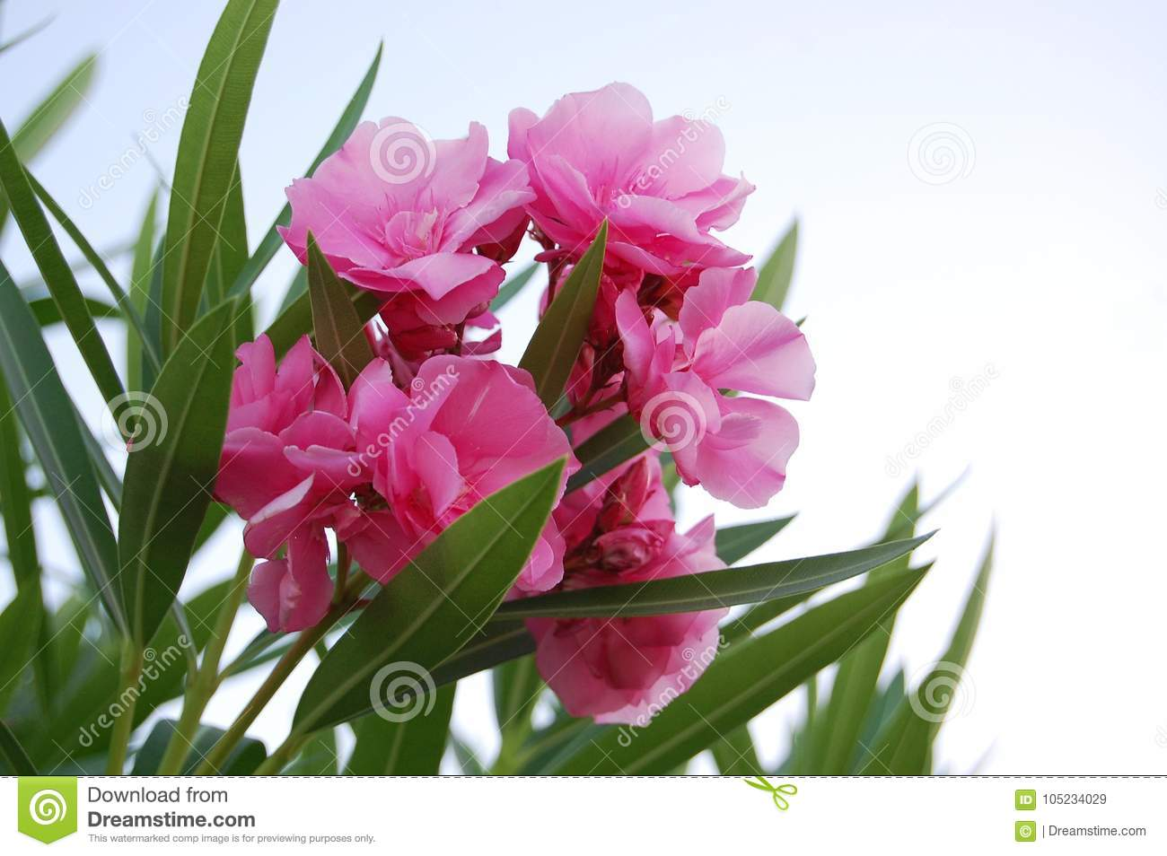 Beautiful Pink Flowers In Turkey Stock Image Image Of Pink