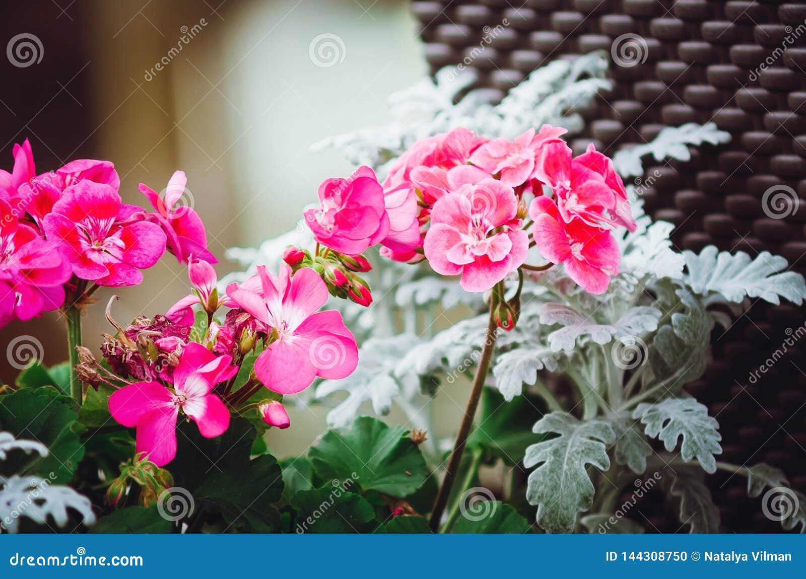 Beautiful pink geranium flowers. Decoration on the street. Close-up